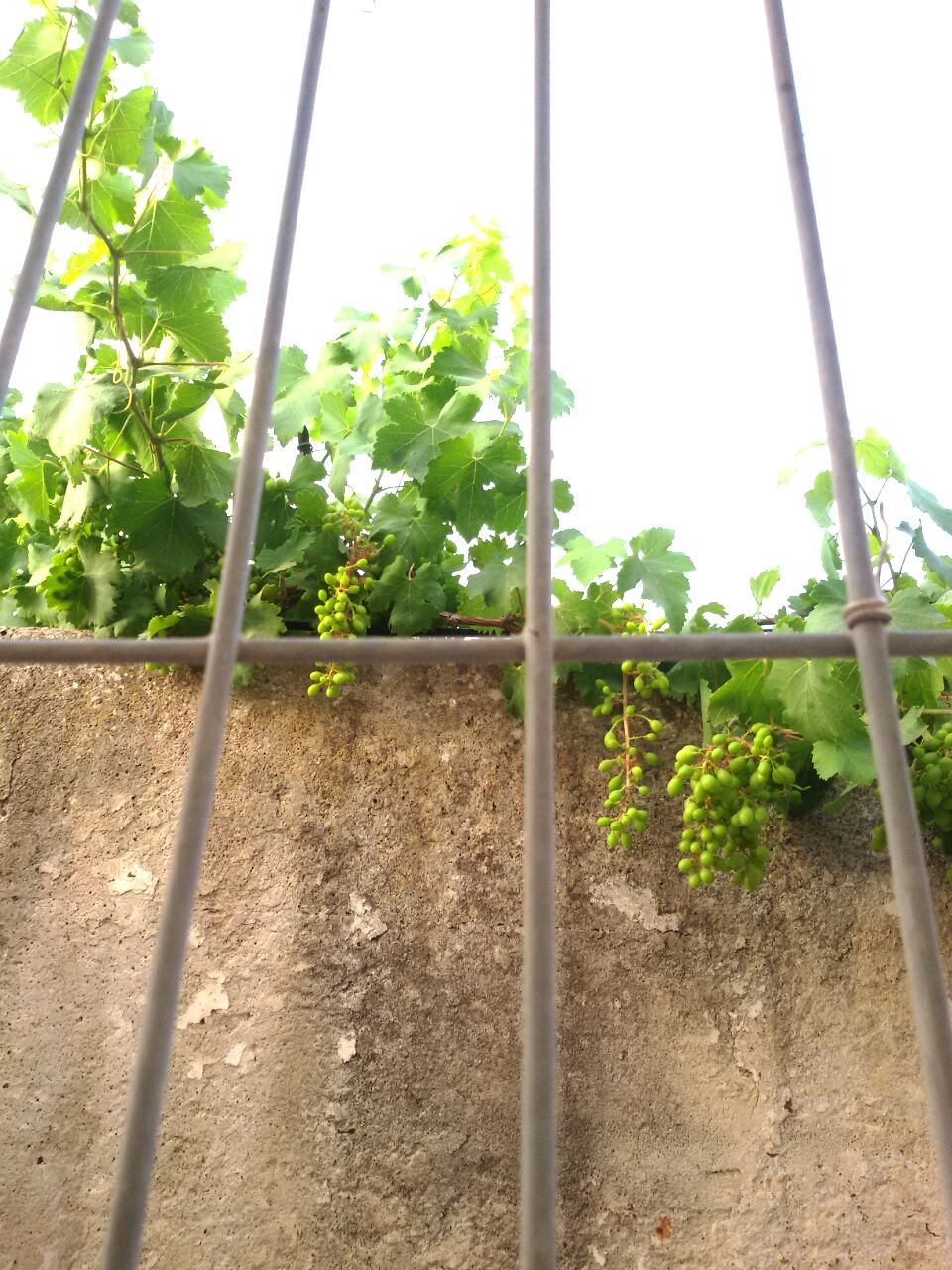 Sour grapes in Barta'a.jpg