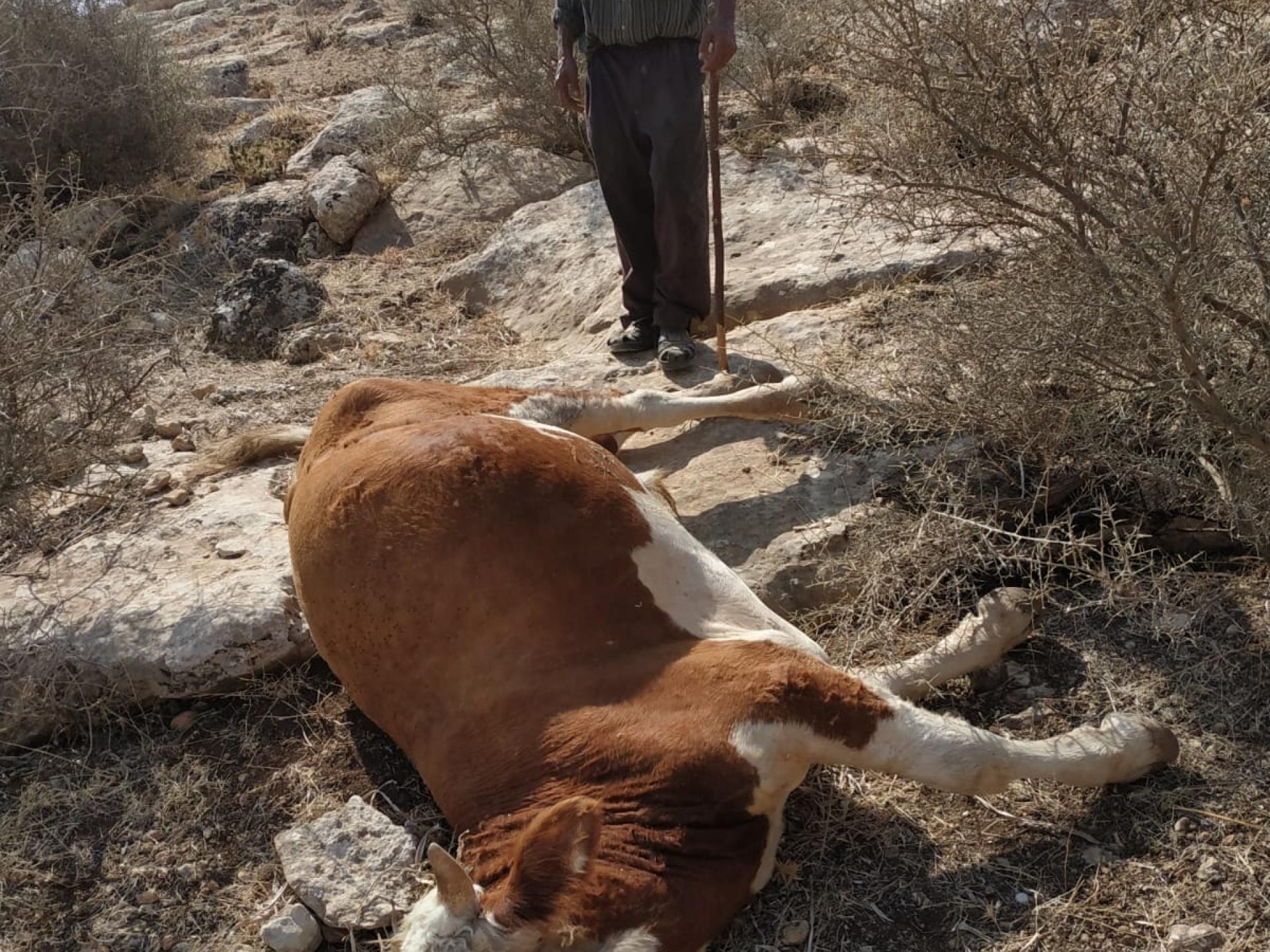 el Hadidiya: one of the cows that were killed by the army
