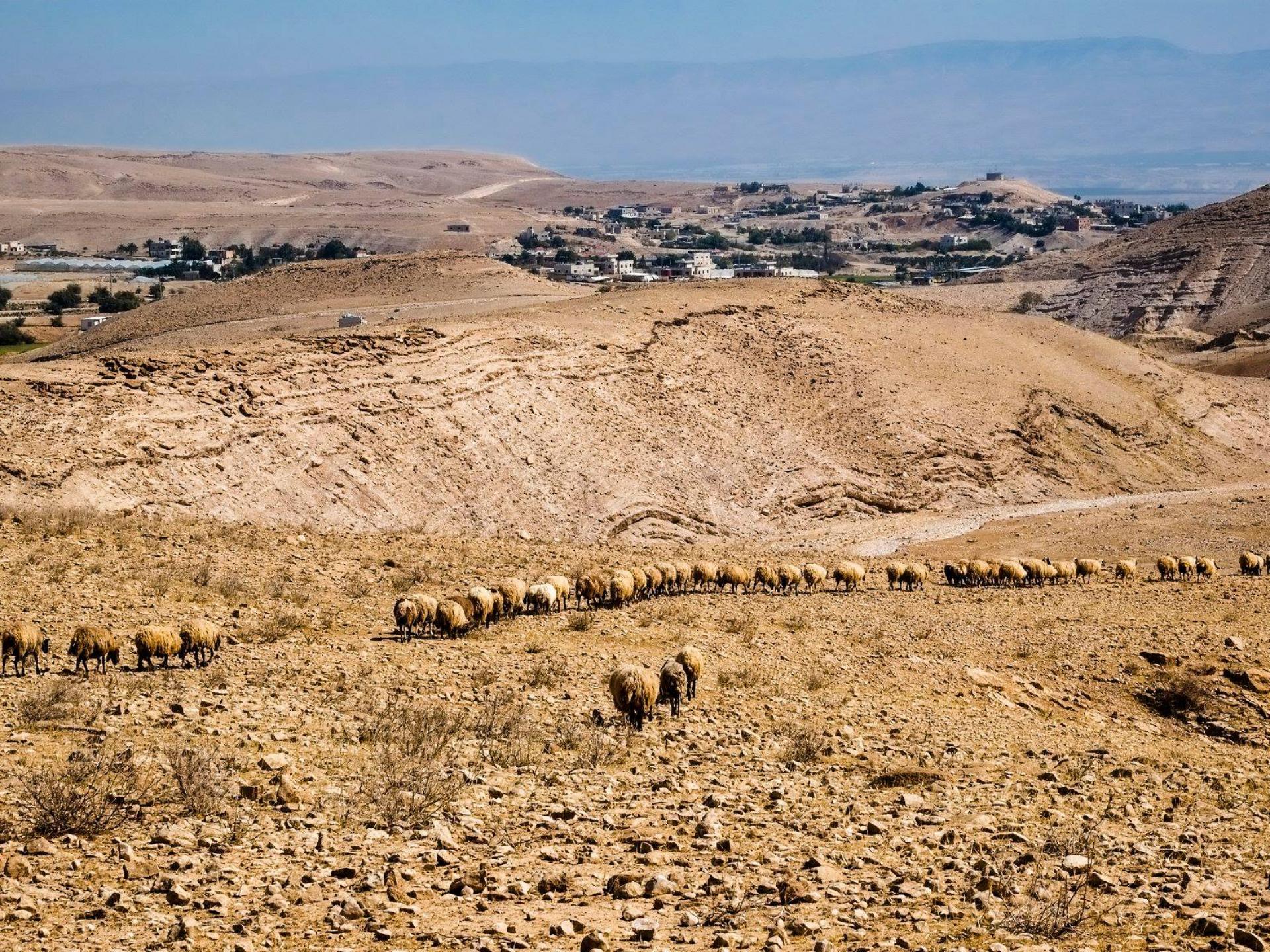 דרום בקעת הירדן: עדר כבשים פלסטיני