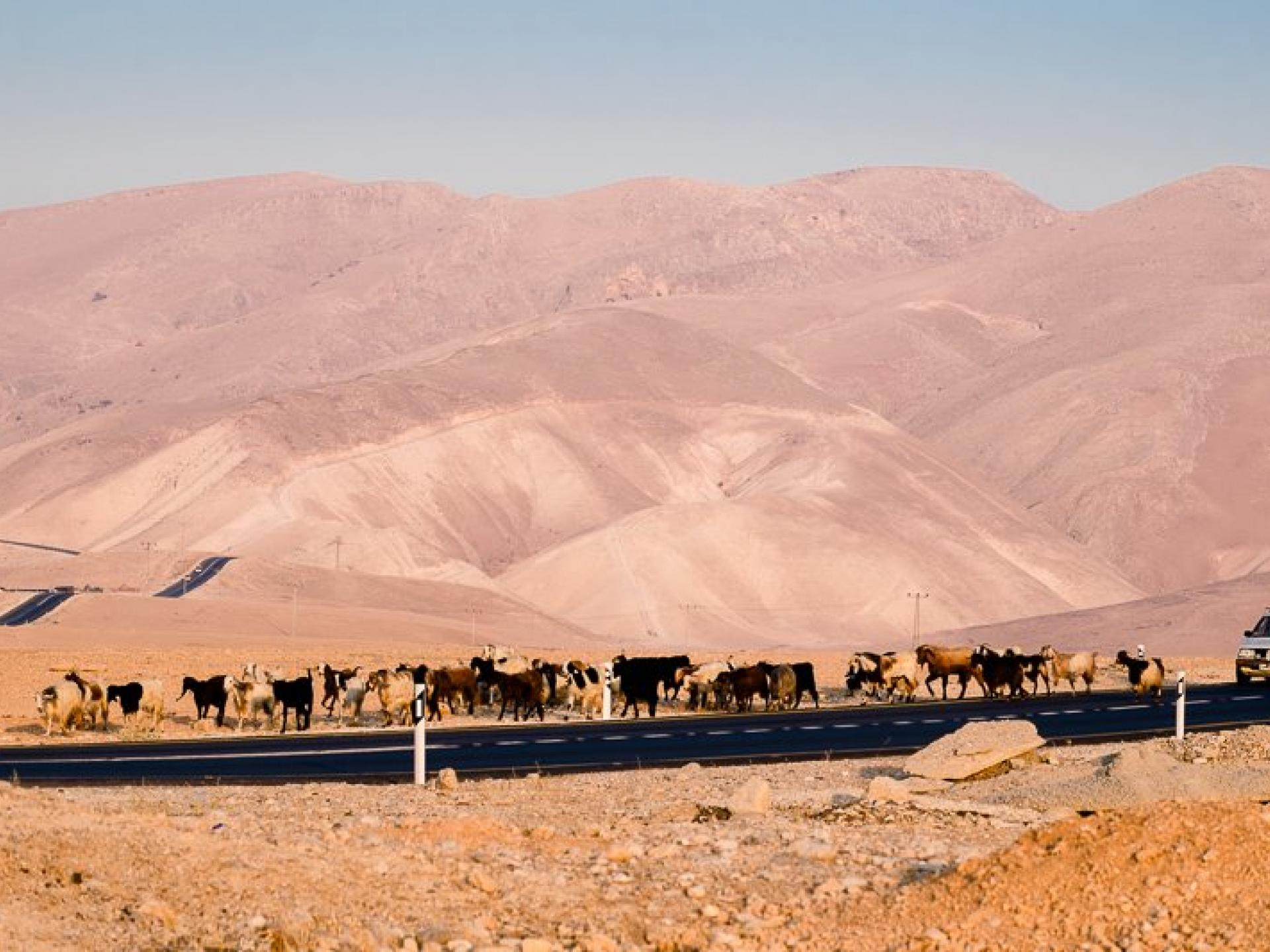 בקעת הירדן: עדר הפרות הפלסטיני שהורחק מהמרעה בשיתוף פעולה בין הצבא למתנחלים