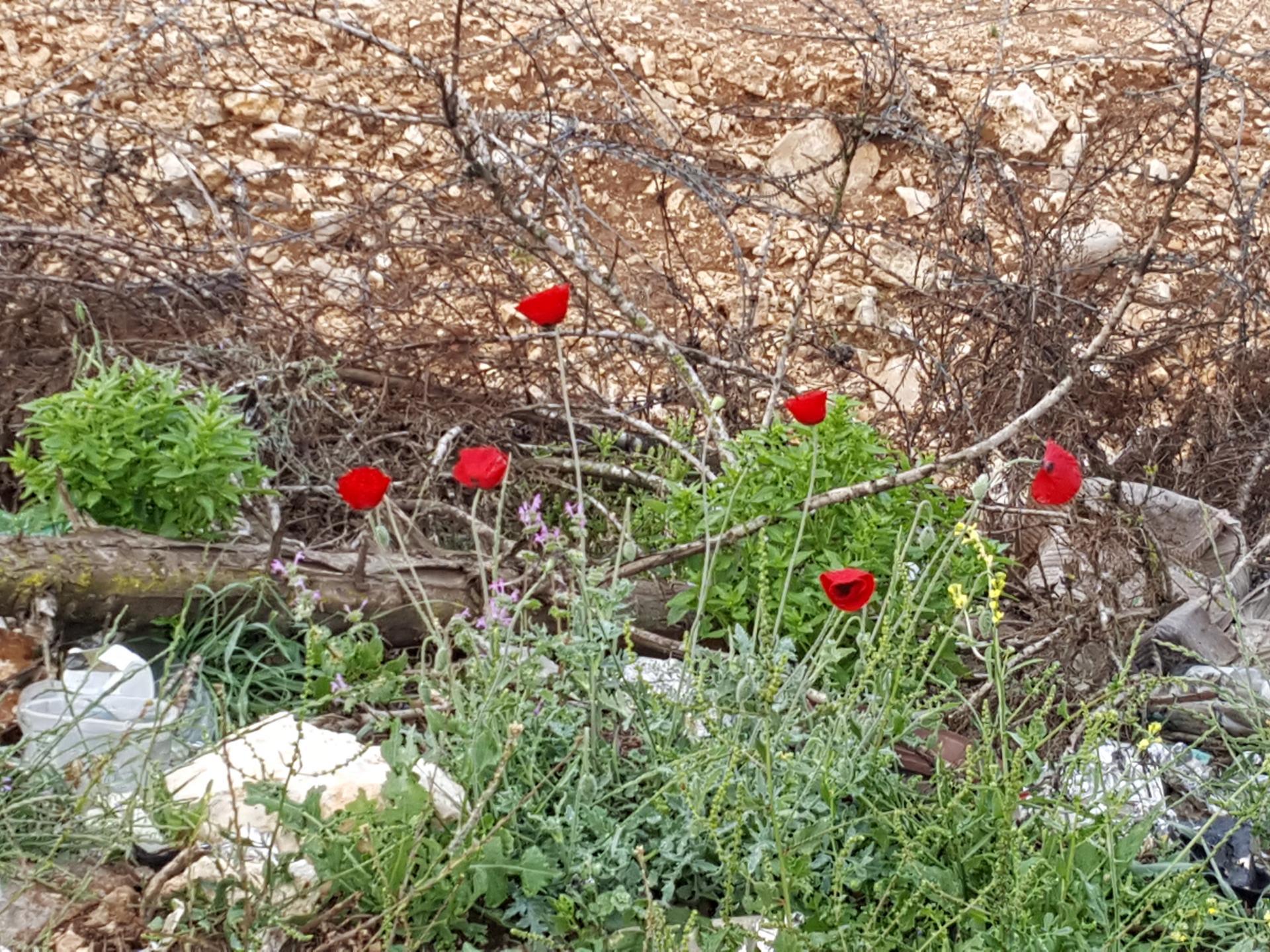 מחסום טורה: הכיבוש ממשיך והפרחים פורחים