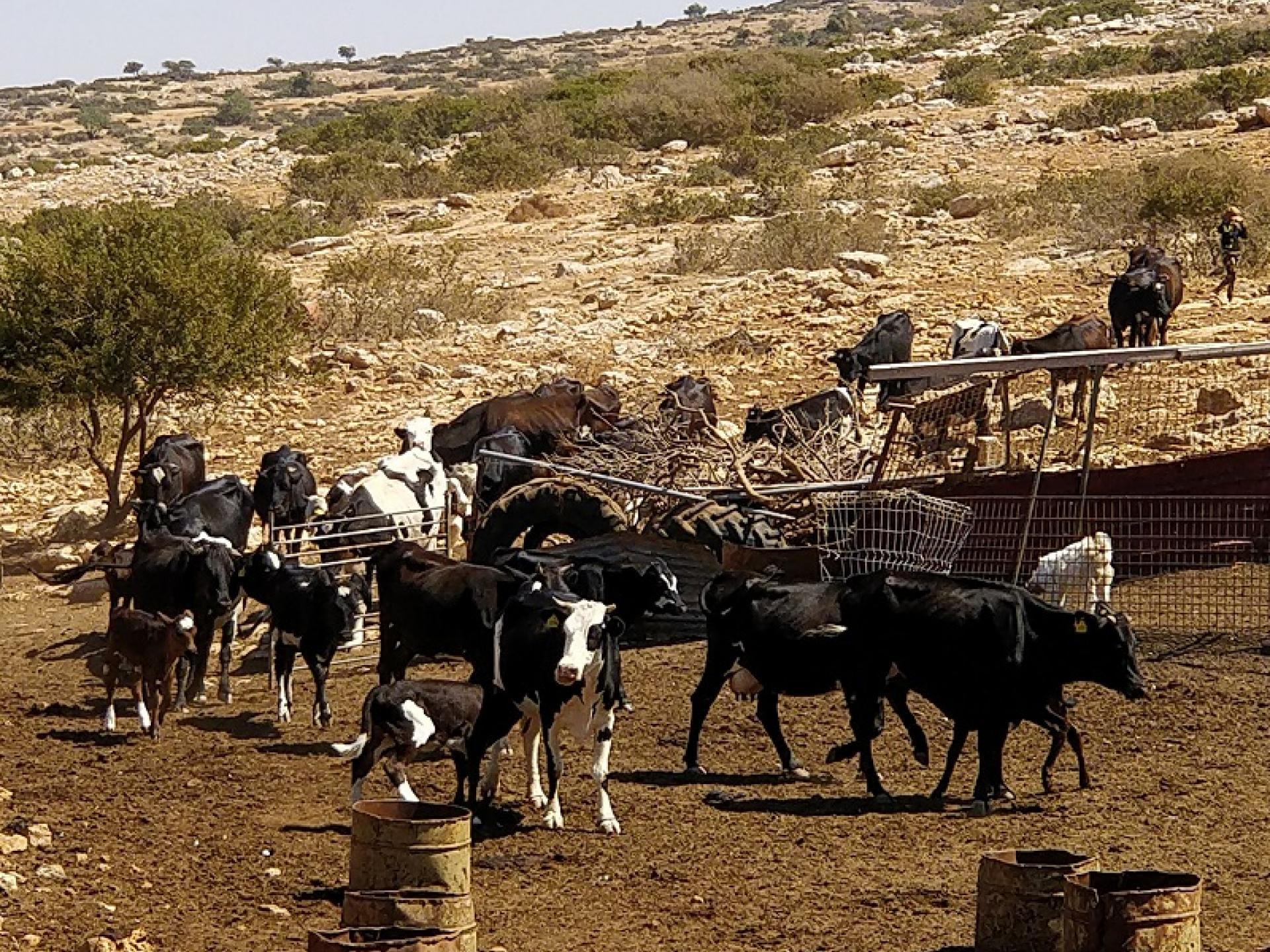 Yarza, Jordan Valley:  Bringing in the flock before the expulsion.