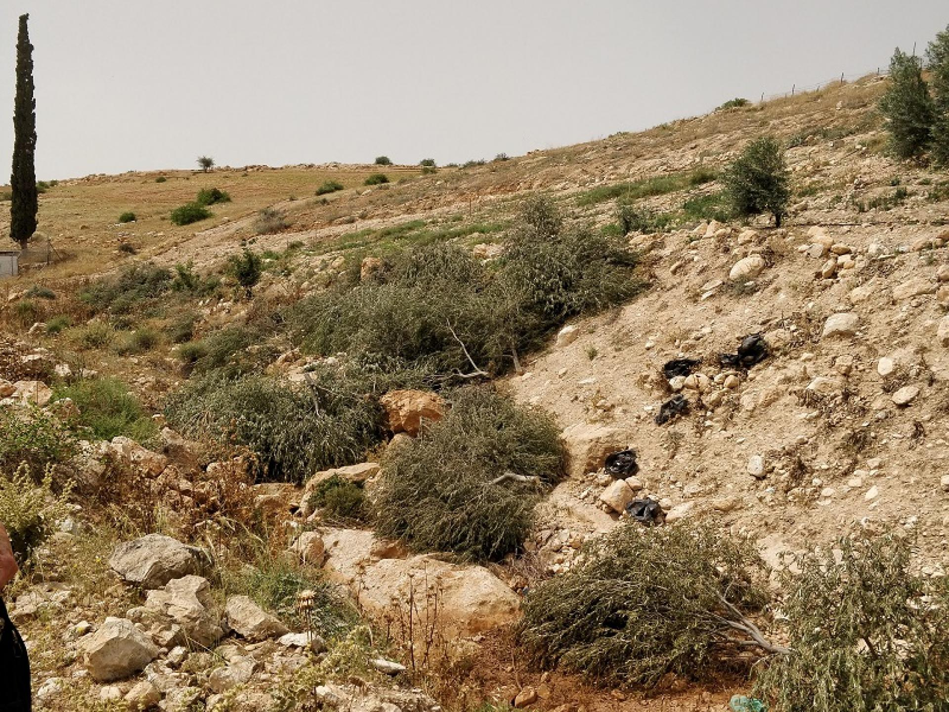 Bardala, Northern Palestinian Jordan Valley: young olive trees uprooted by Israeli soldiers