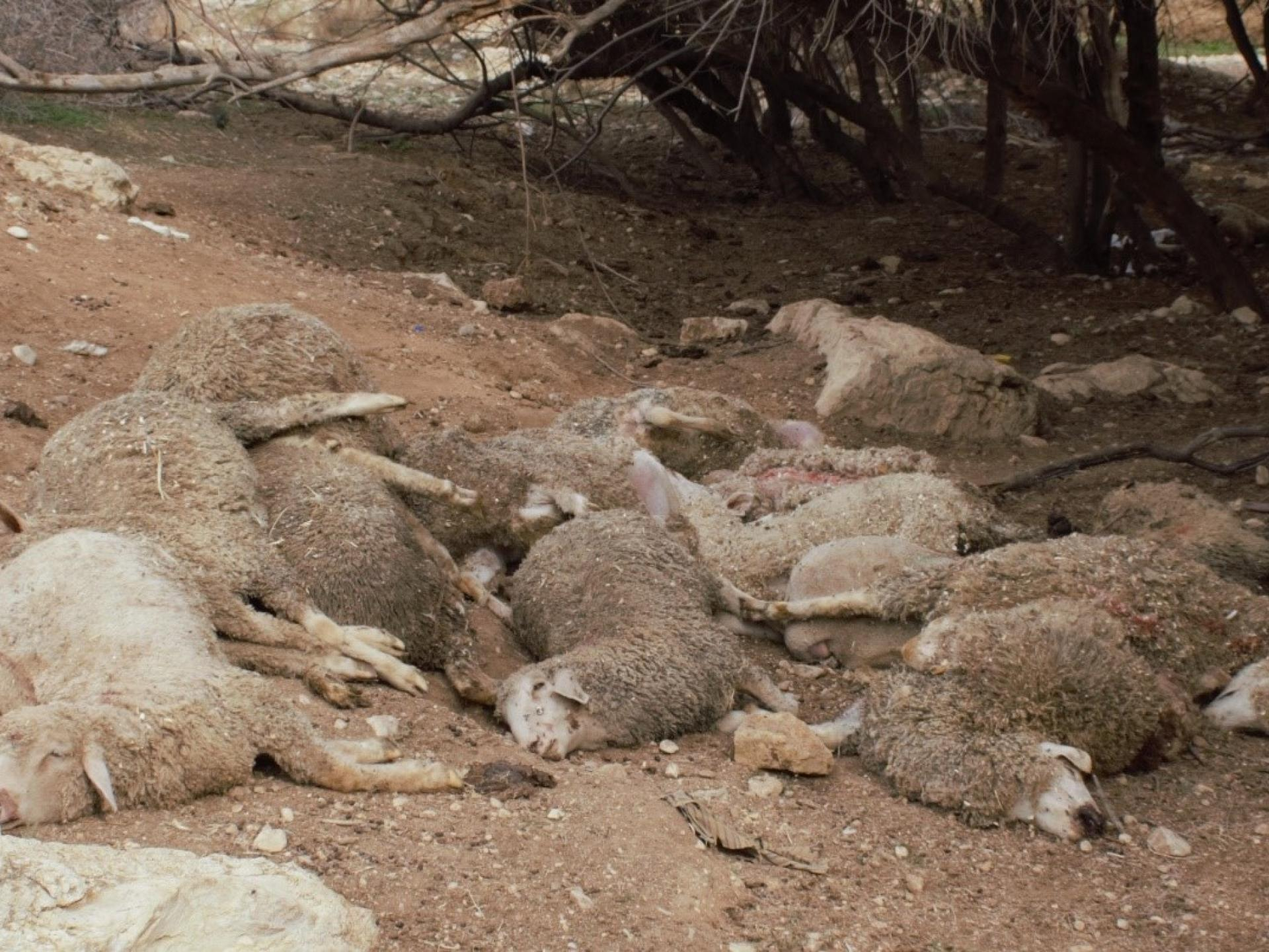 בקעת הירדן: פגרי כבשים בעין אל חילווה