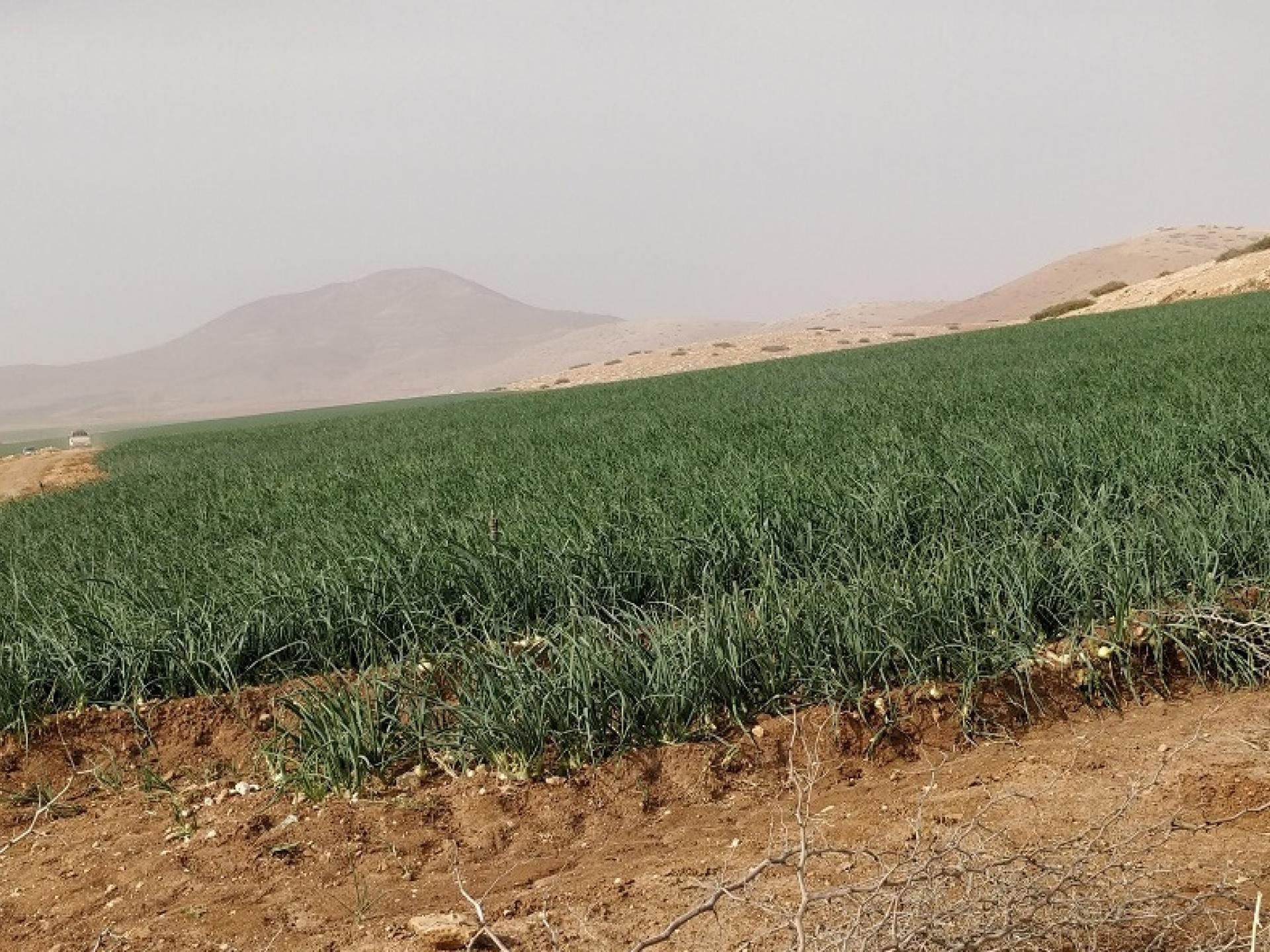 בקעת הירדן: שדה  בצל שיתייבש בקרוב מחוסר מים לאחר שהצבא חתך את צינורות ההשקייה