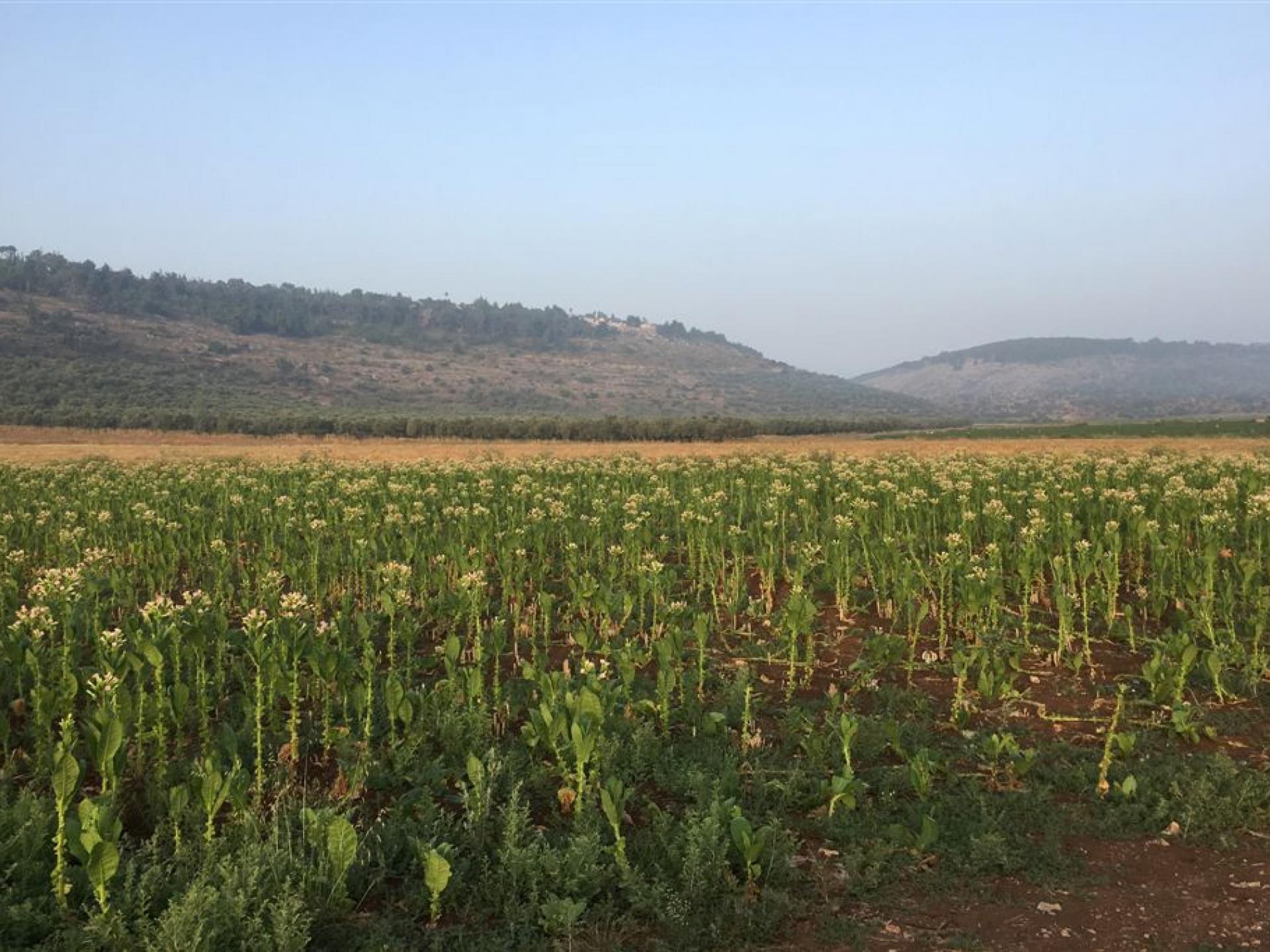 מחסום יעבד: שדה טבק פורח