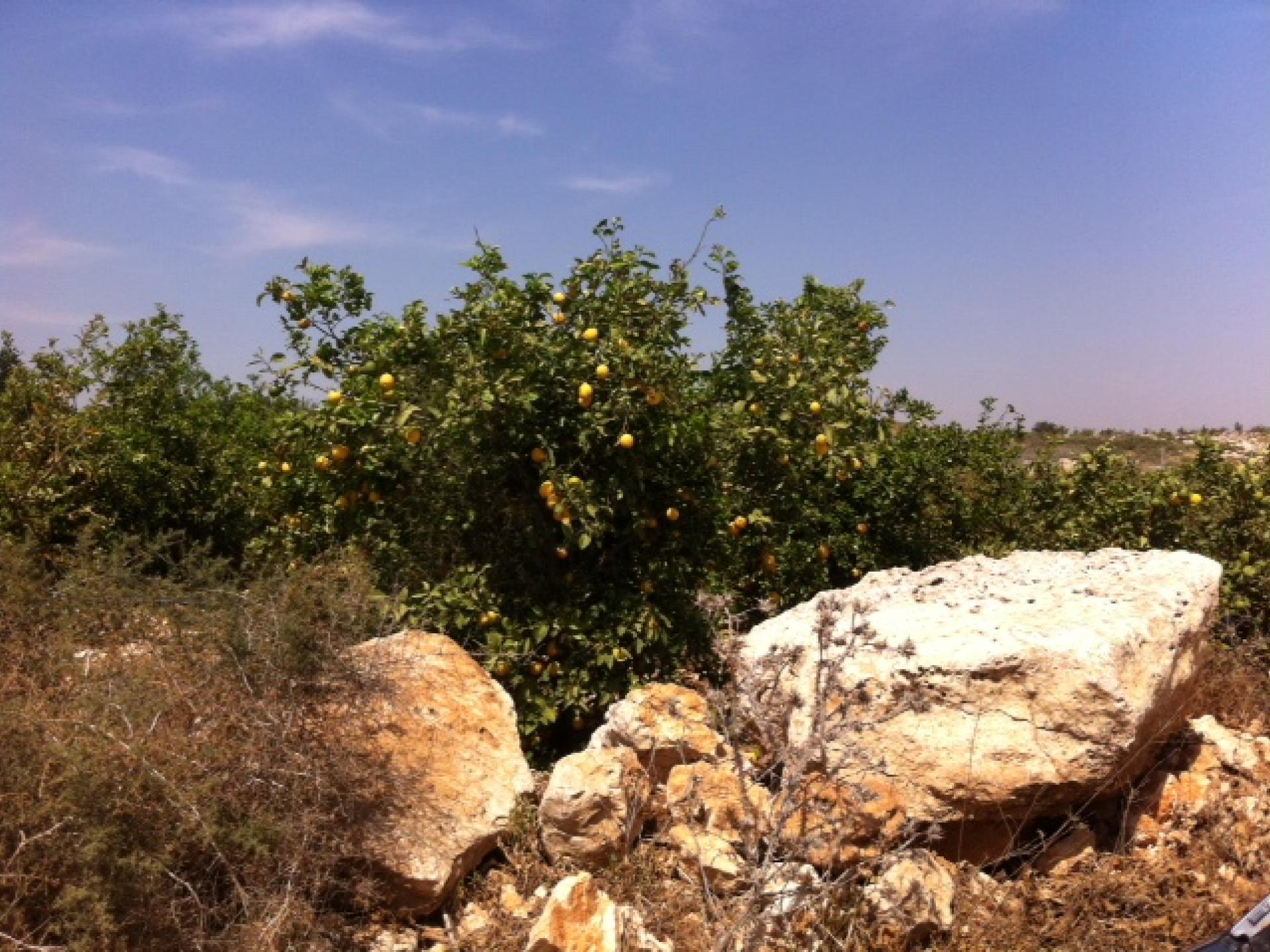 A lemon grove on the way to Falamiya South.