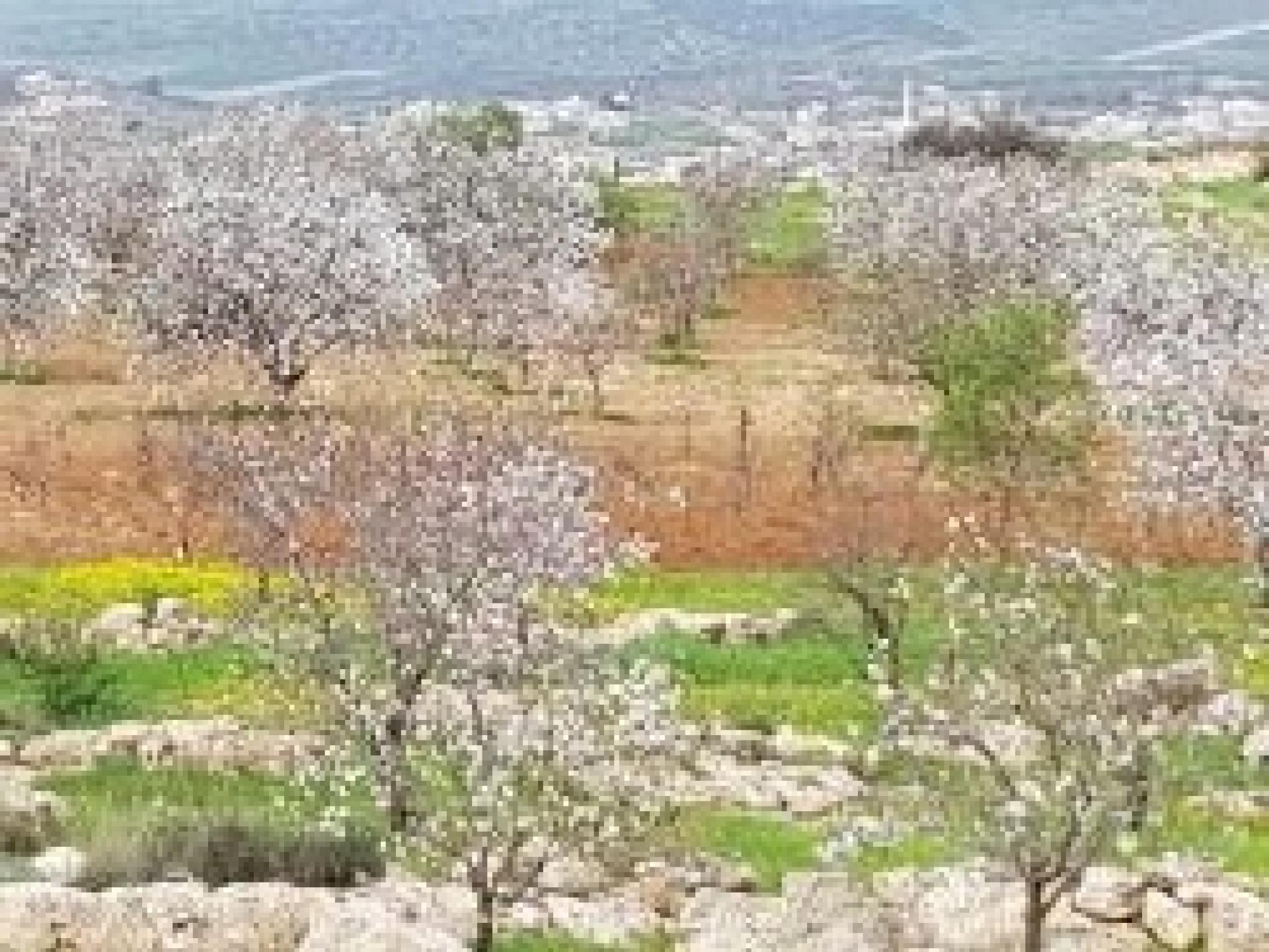 השקדיות בדרום הר חברון