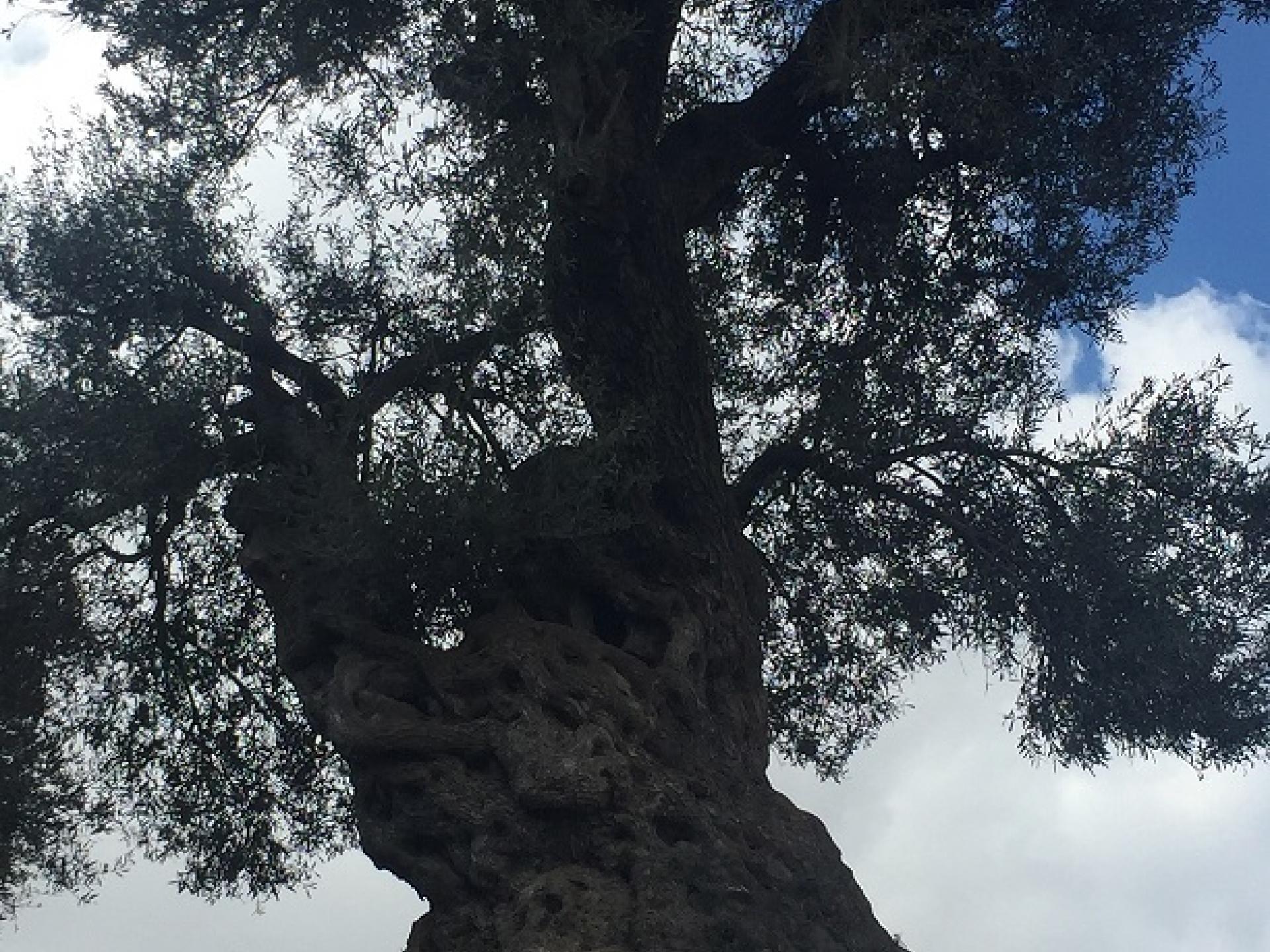 Ancient olive tree, Tel Rumeida, Hebron