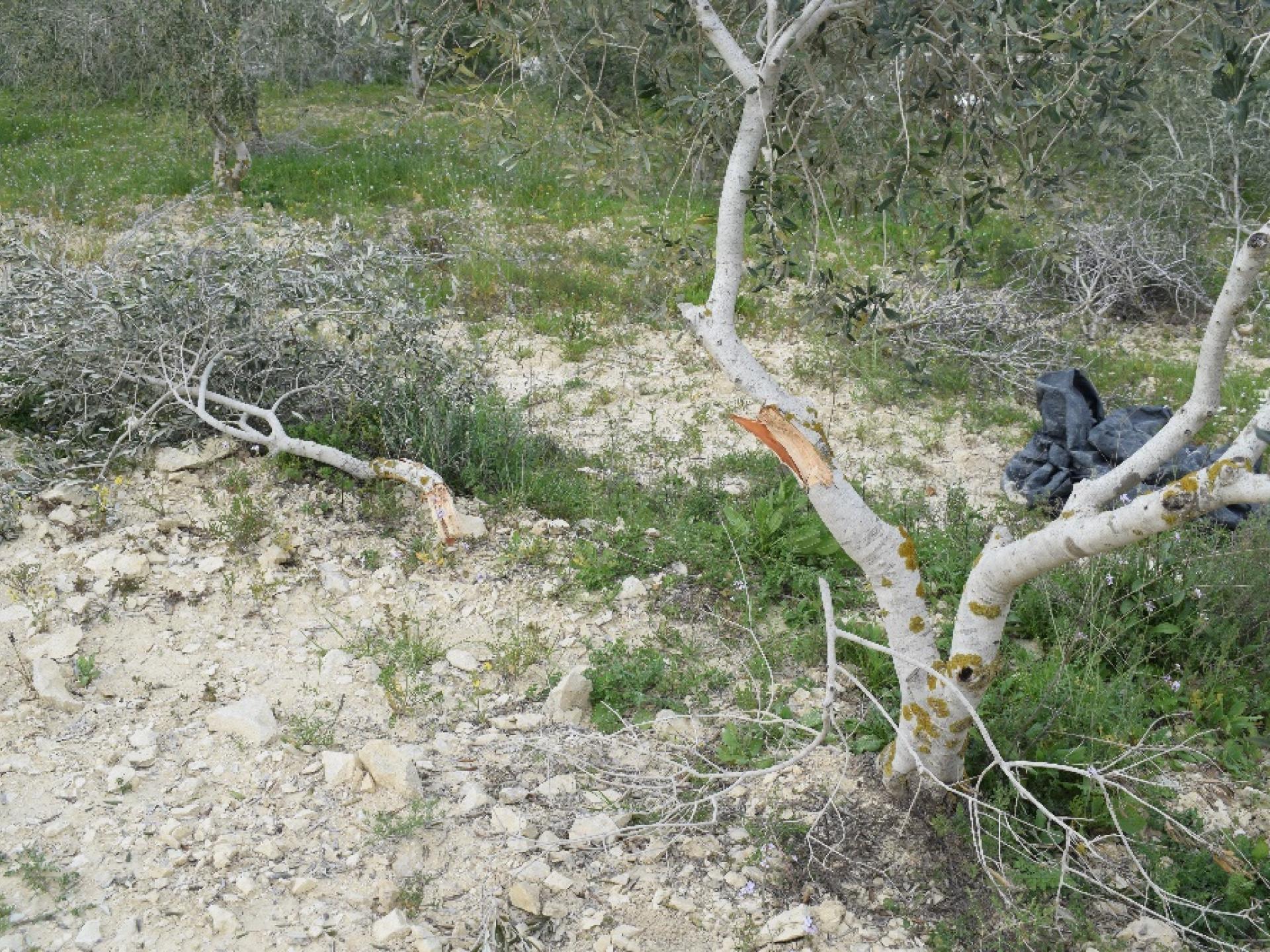 עצי זית בחלקה במאדמא, שנפגעו בהתפרעות מתנחלי יצהר ב 11.3.18