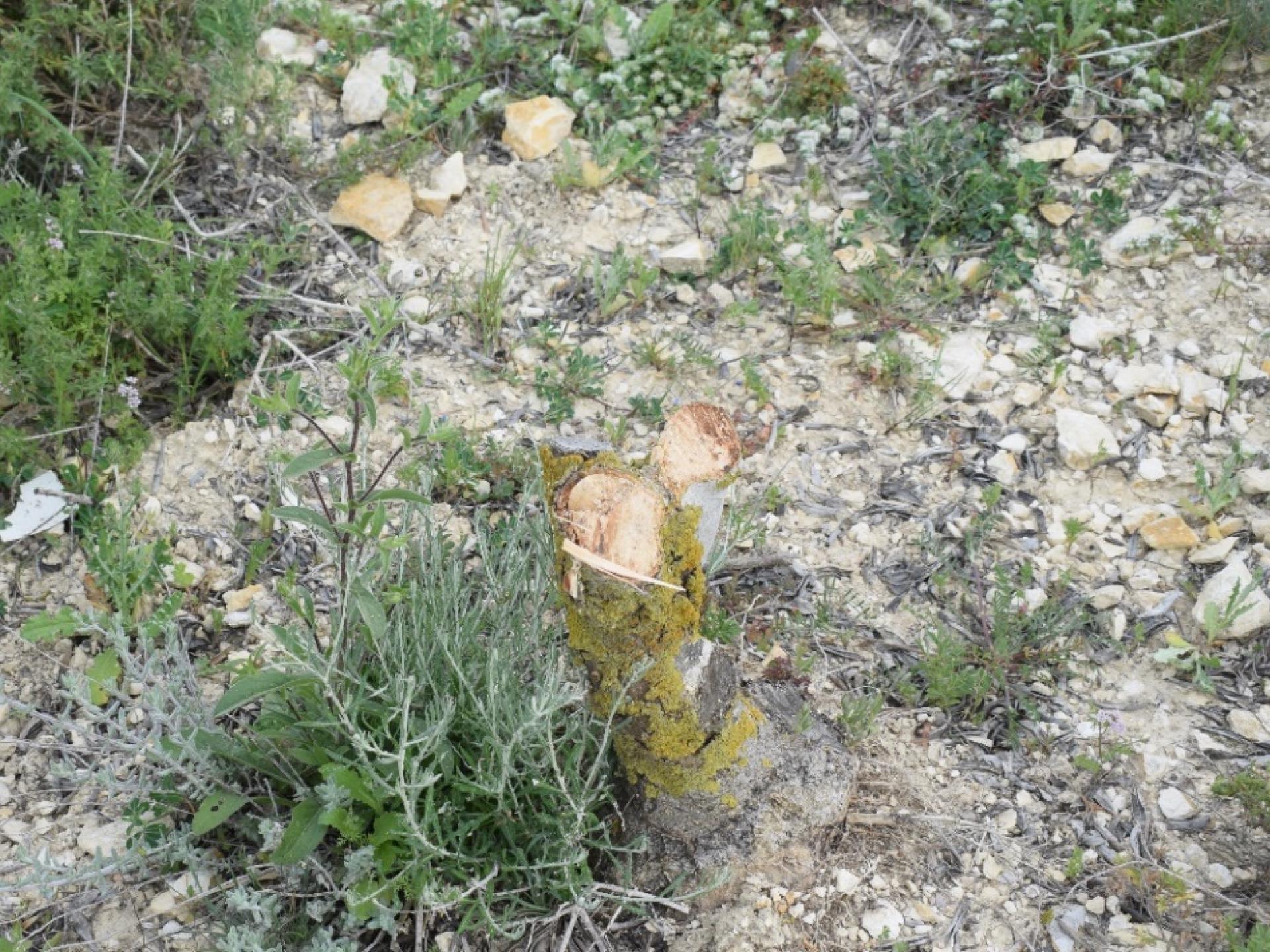 עץ זית כרות
