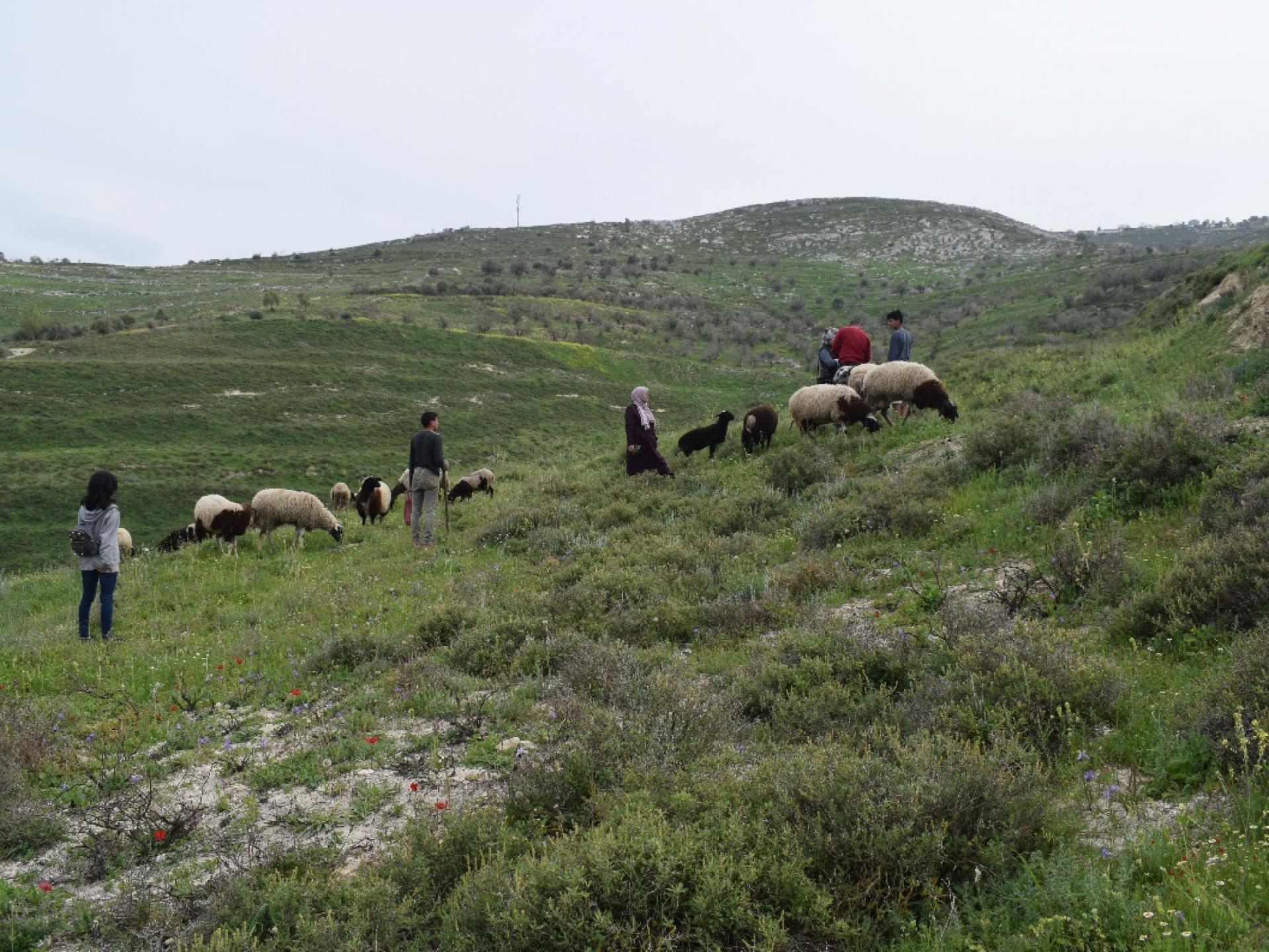 עדר הכבשים הקטן של א. ליד חלקת עצי הזית. בגב ההר מימין ניתן לראות את בתי התנחלות יצהר.