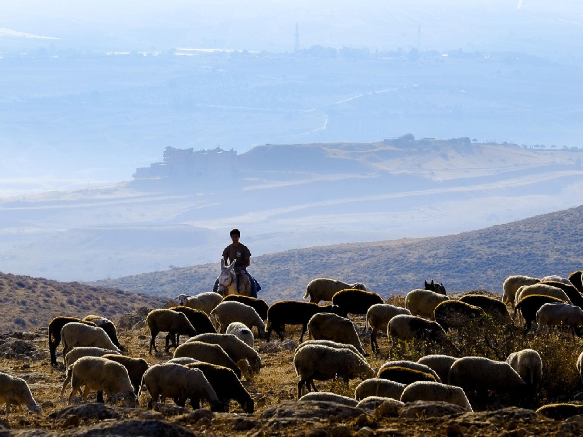 מאחז שירת העשבים: נער מתנחל על חמור רועה כבשים באין מפריע בתוך שטח אש
