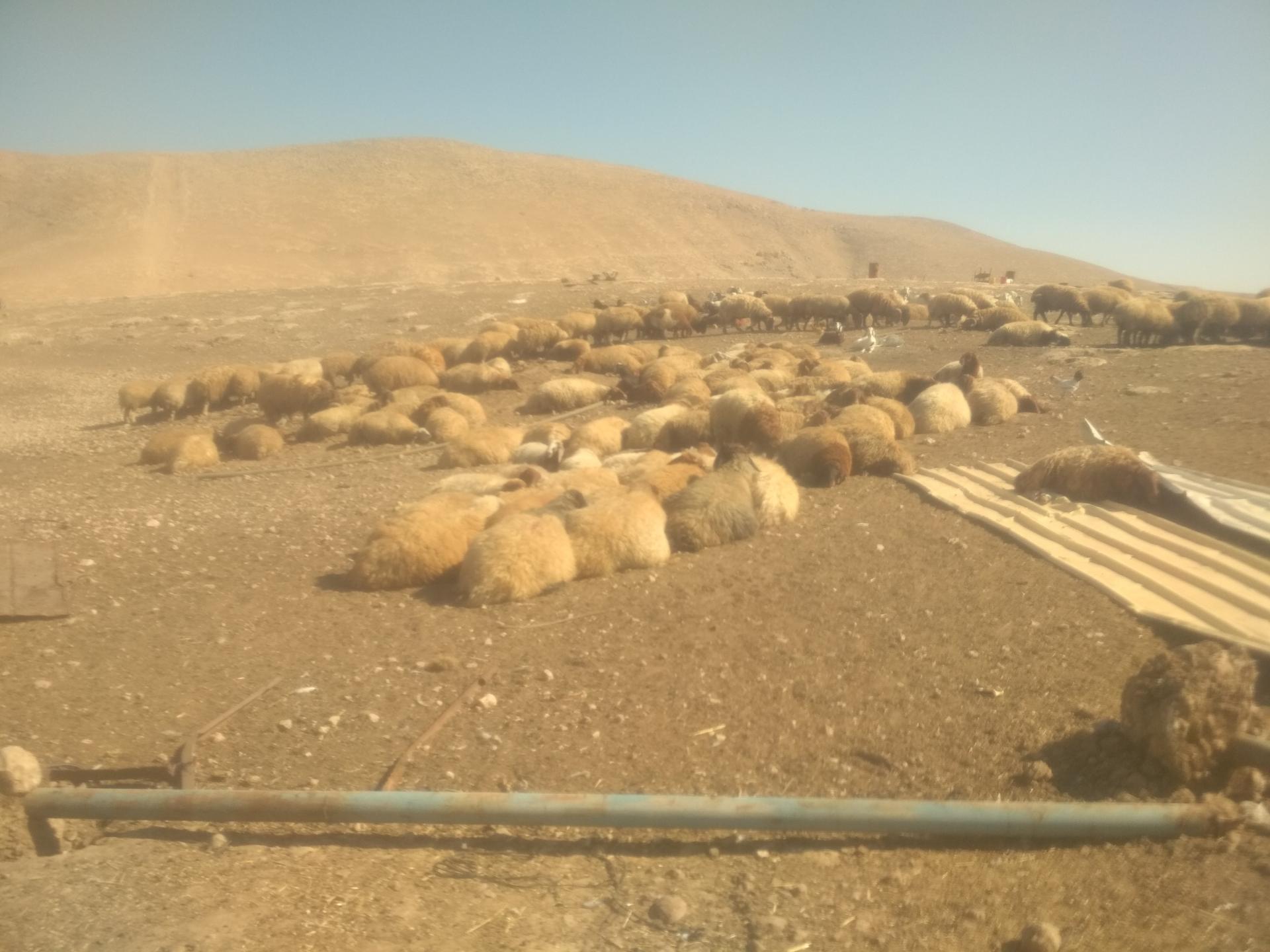בקעת הירדן: עדר הכבשים נשאר חשוף לשמש המדבריך אחרי הריסת הדיר
