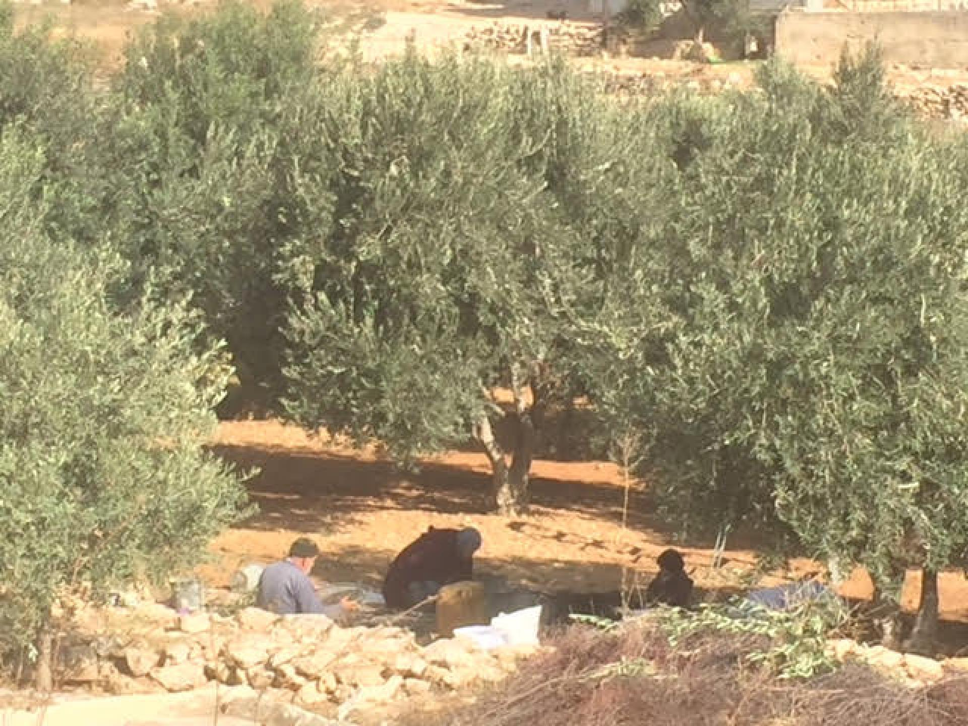 First rain and the Palestinians are in a hurry to finish the olive harvest