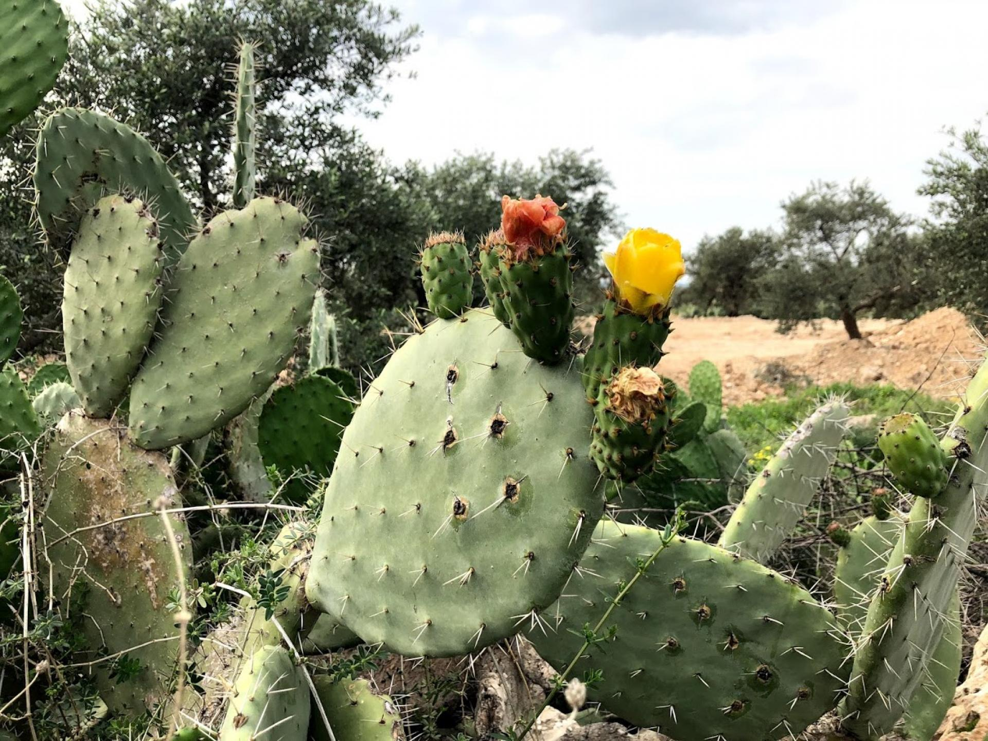 The prickly pear blossom