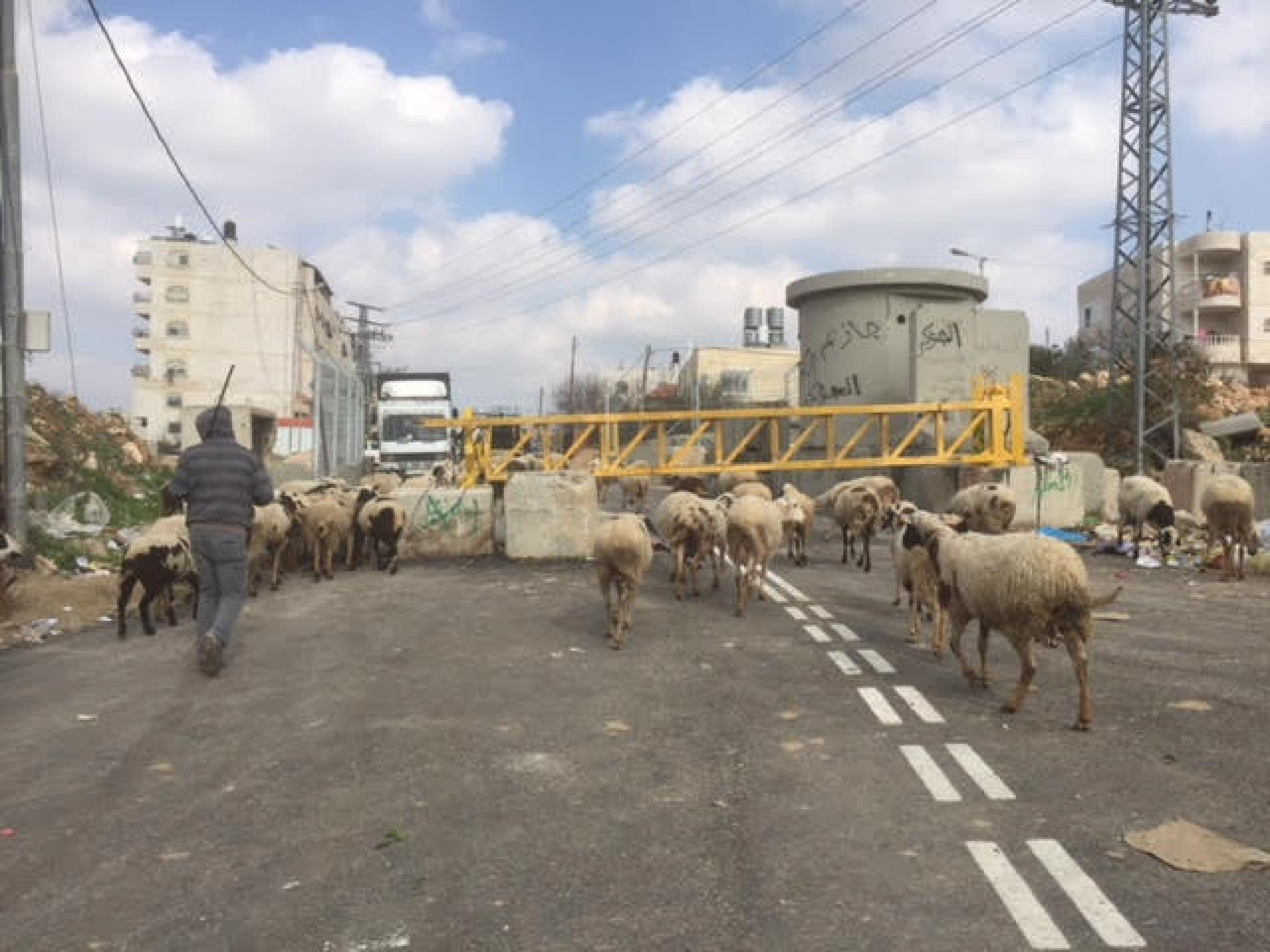 Sheep pass the checkpoint easily
