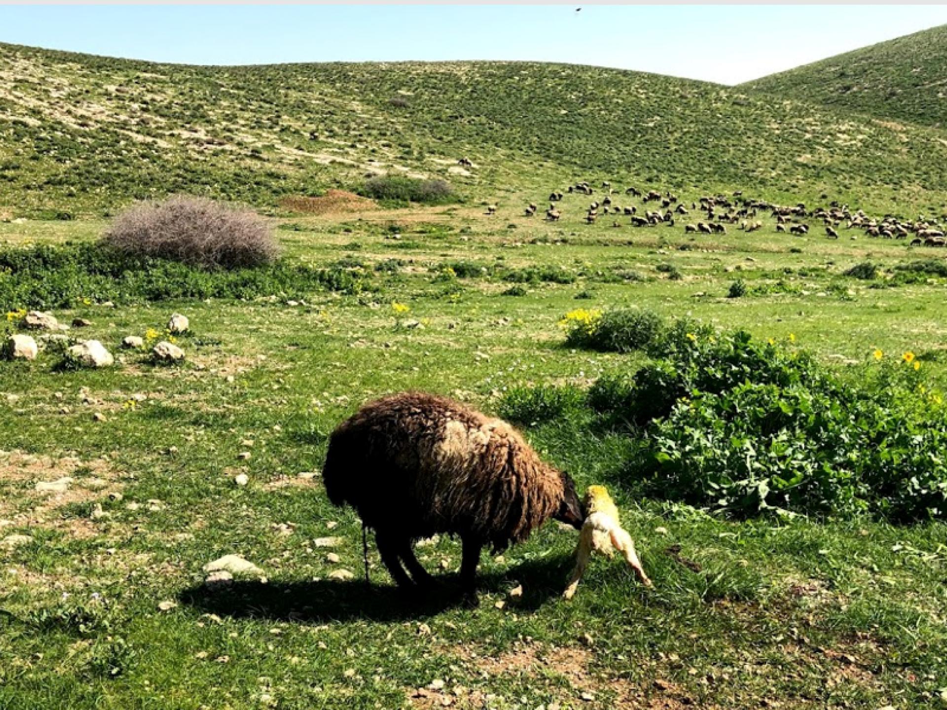 The sheep and the newborn lamb