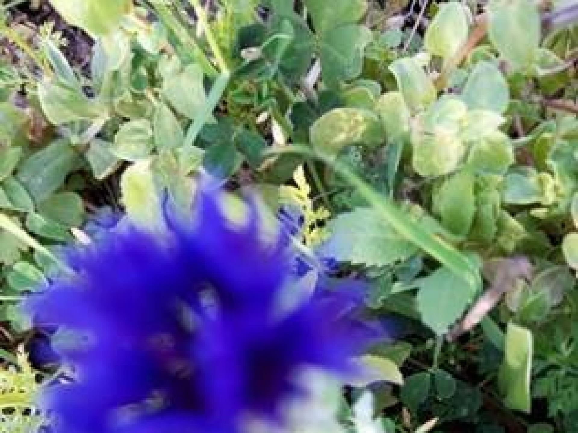 מחסום טייבה רומנה: דרדר כחול