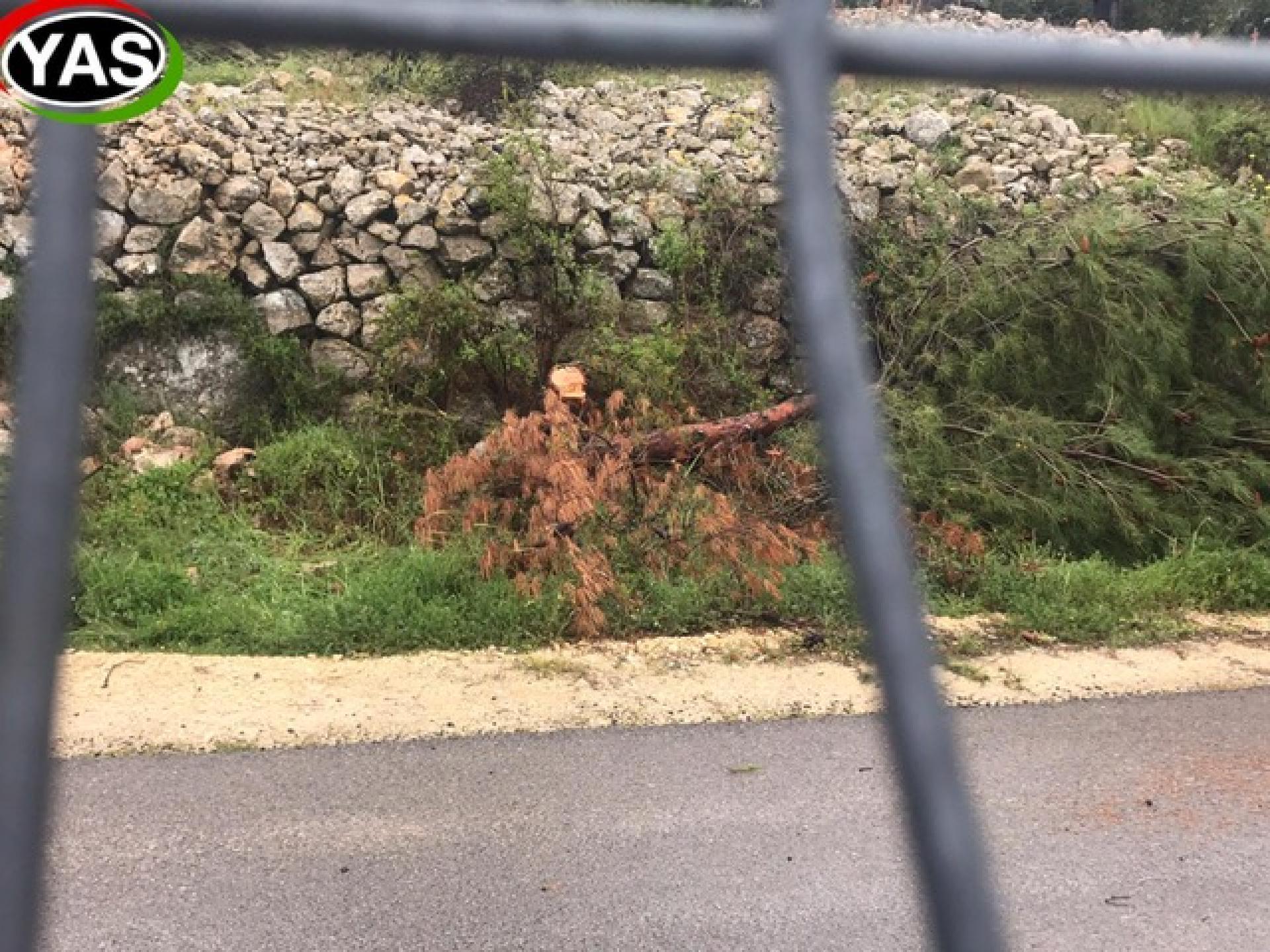 עצי זית כרותים וגדר חדשה