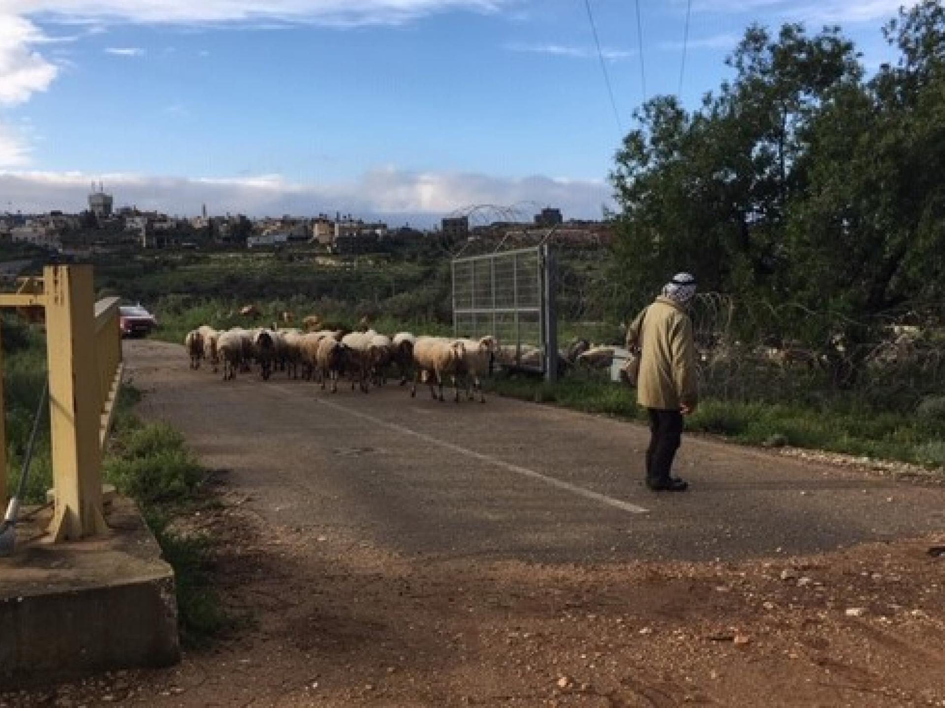רועה ועדרו במחסום מסחה
