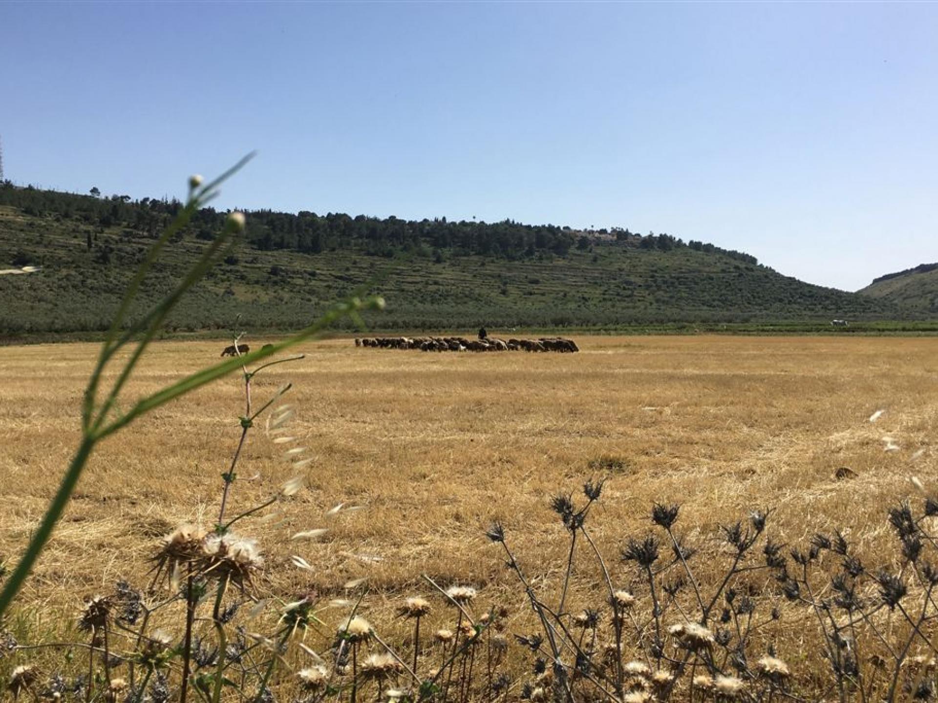 למרגלות התנחלות מבוא דותן: רועים פלסטינים בשדה שלף