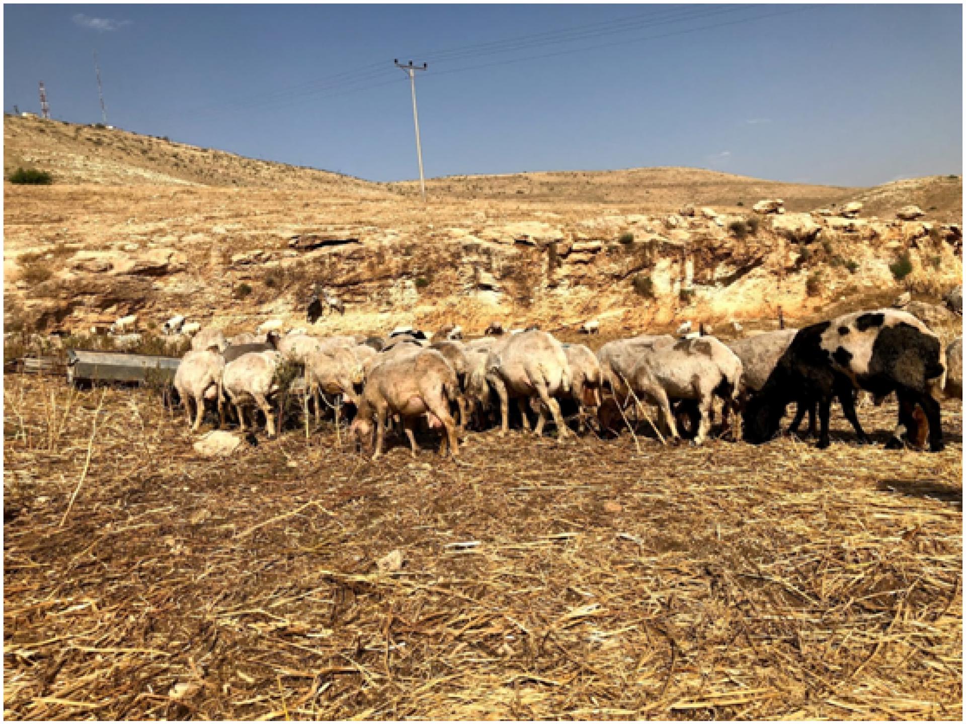 הכבשים בח'אלת מכחול