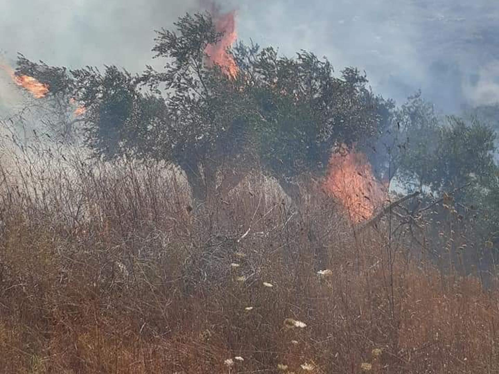 עצי הזית עולים באש