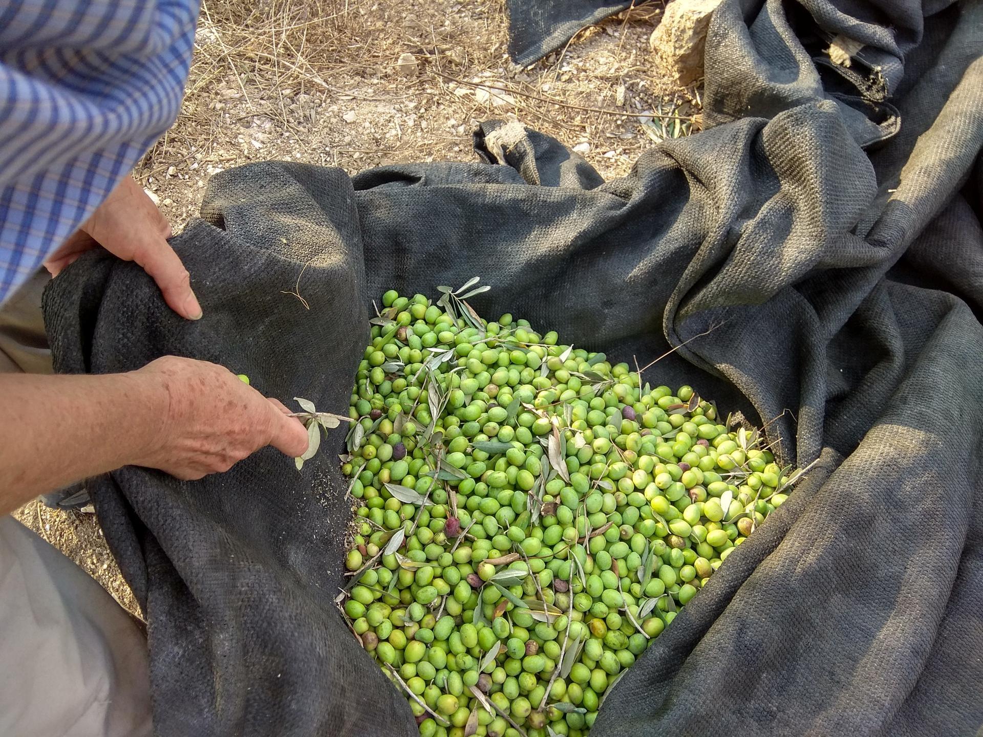 יבול הזיתים מהמטע היחיד שלא נשרף