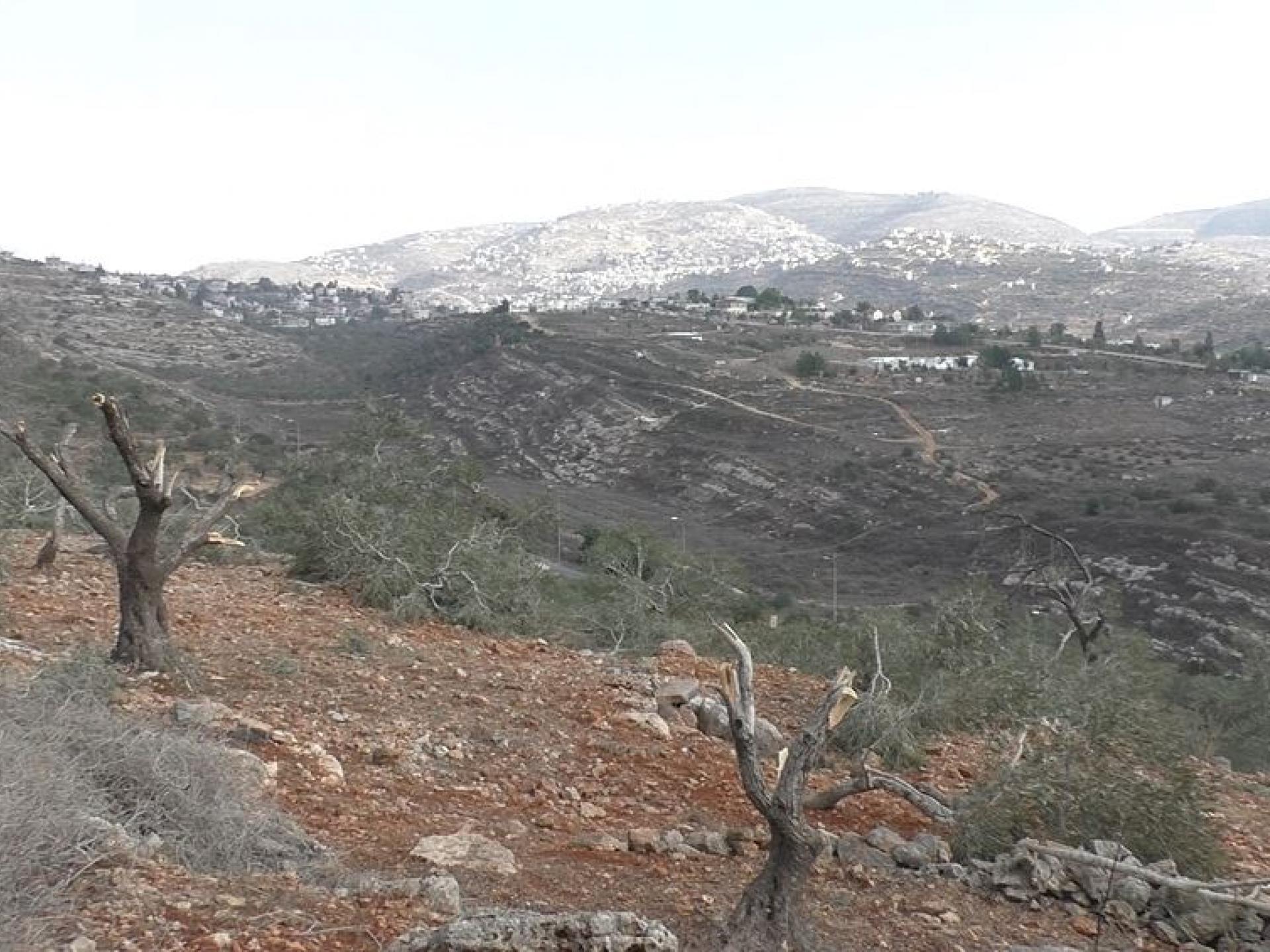 עצי הזית הכרותים כשברקע התנחלות רחלים