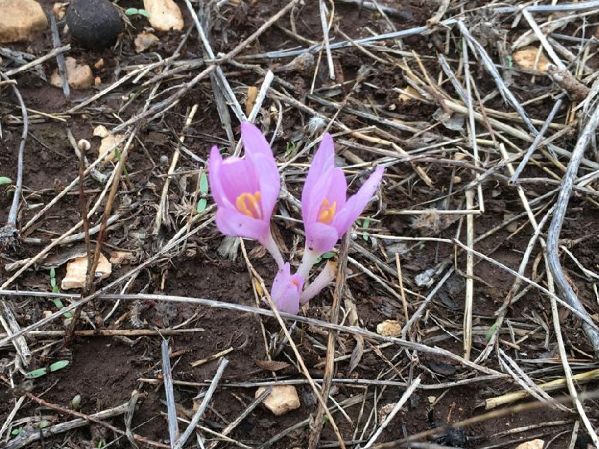 Hermesh: Light purple flower