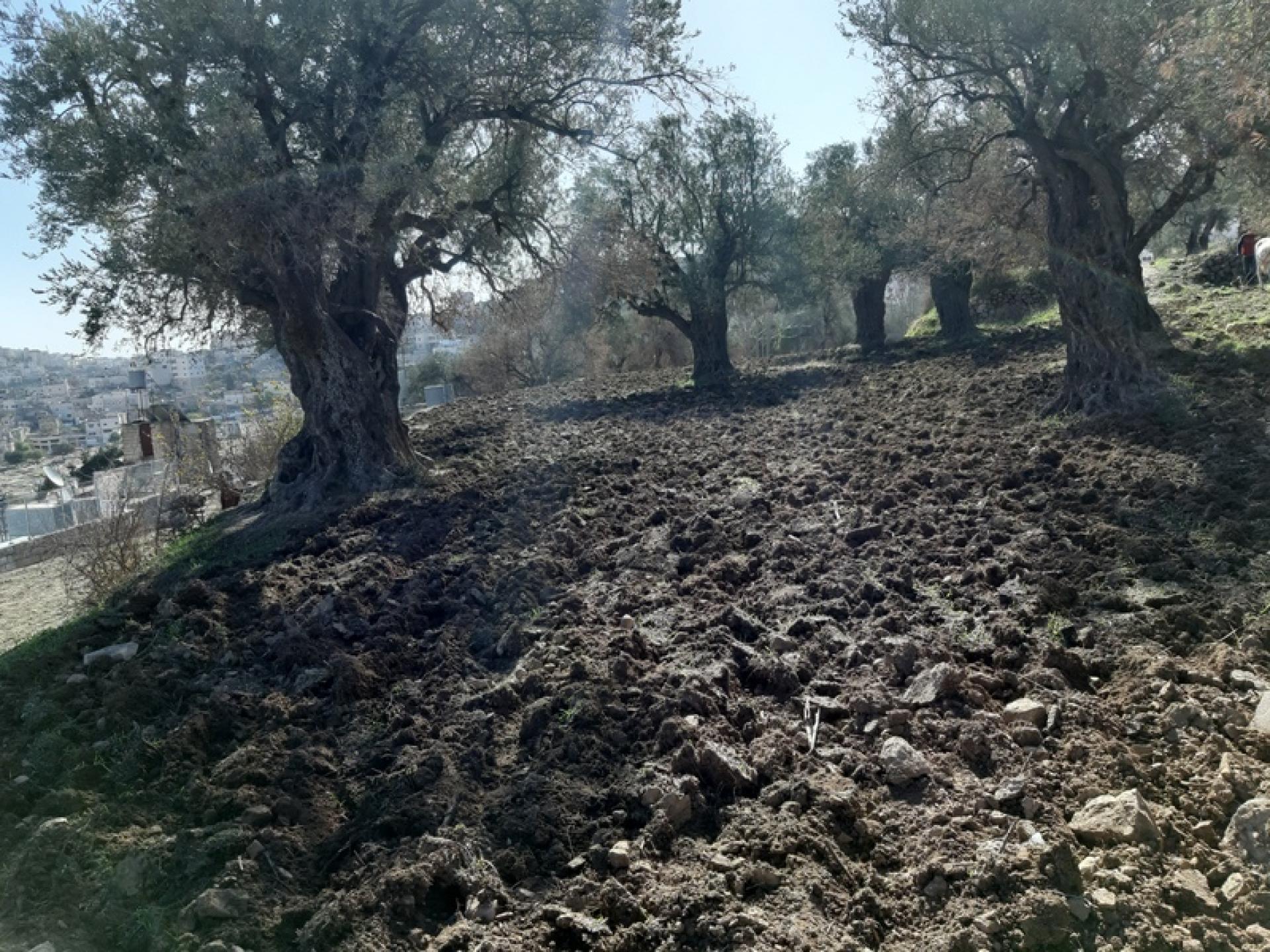 הנירים שנחרשים עכשיו במטע הזיתים העתיקים נראים נפלא