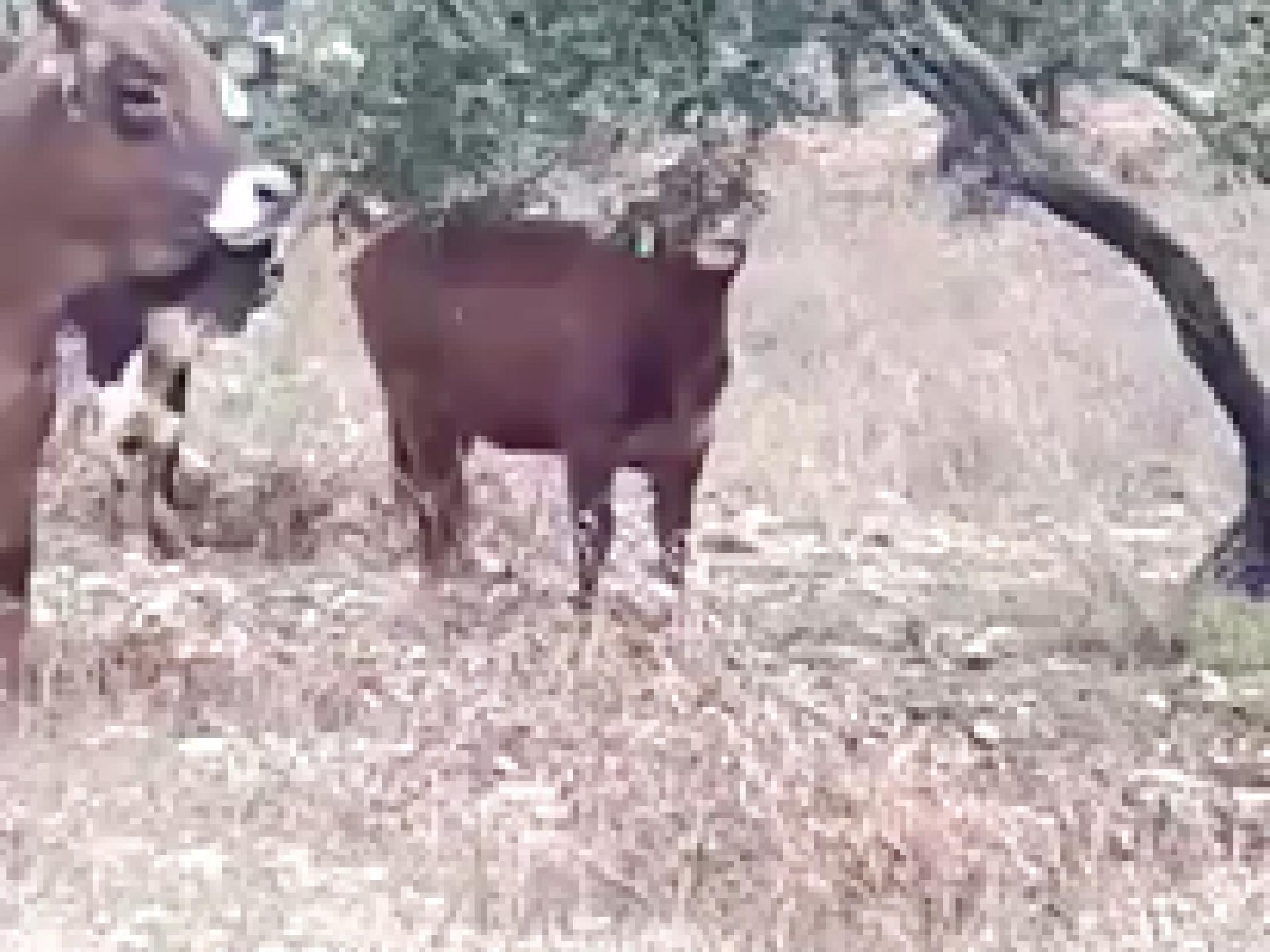 פרות במטע הזיתים