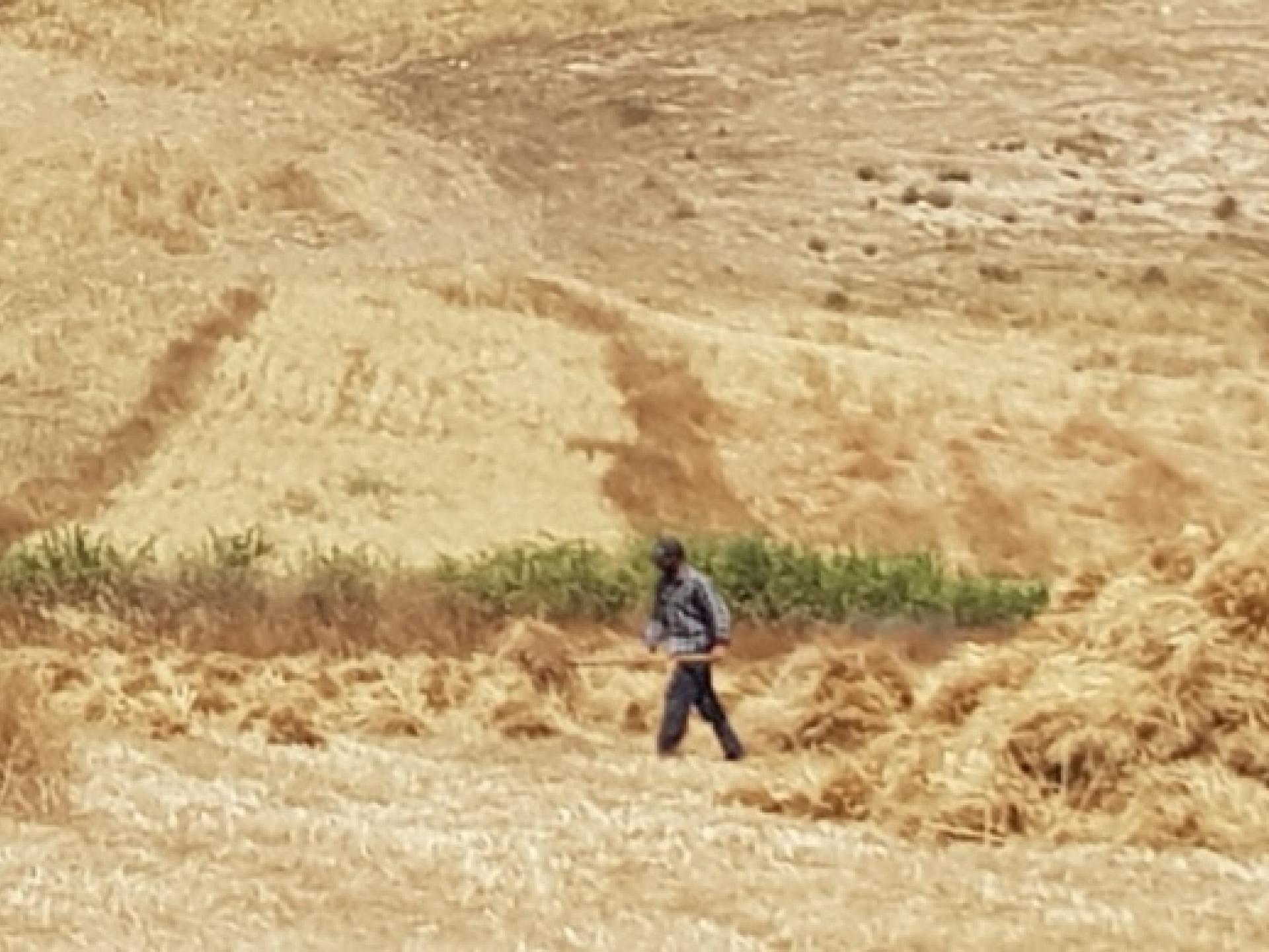 קציר חיטה בדרום הר חברון