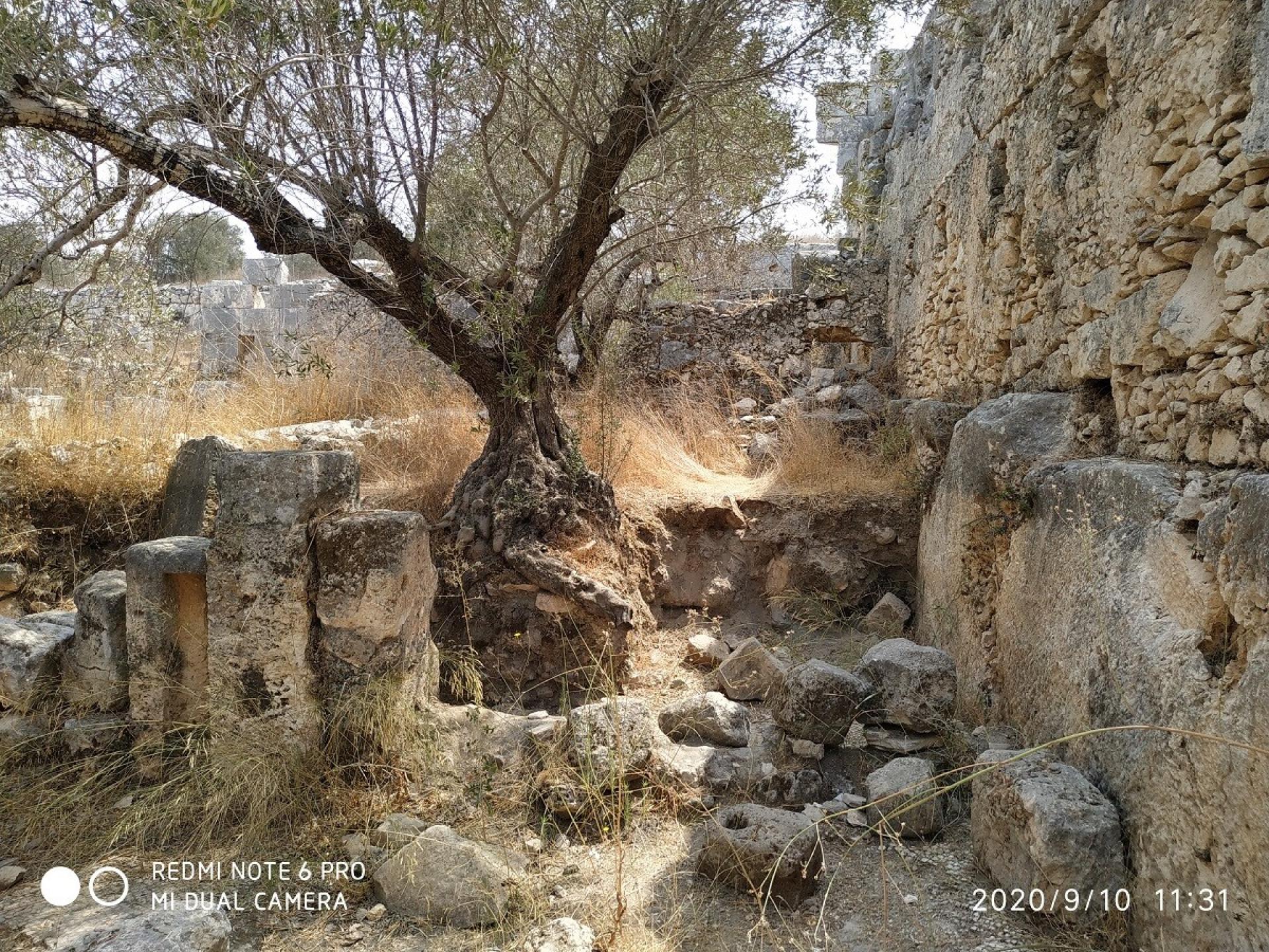 עץ זית ששורשיו נחשפו עקב חפירות הצבא