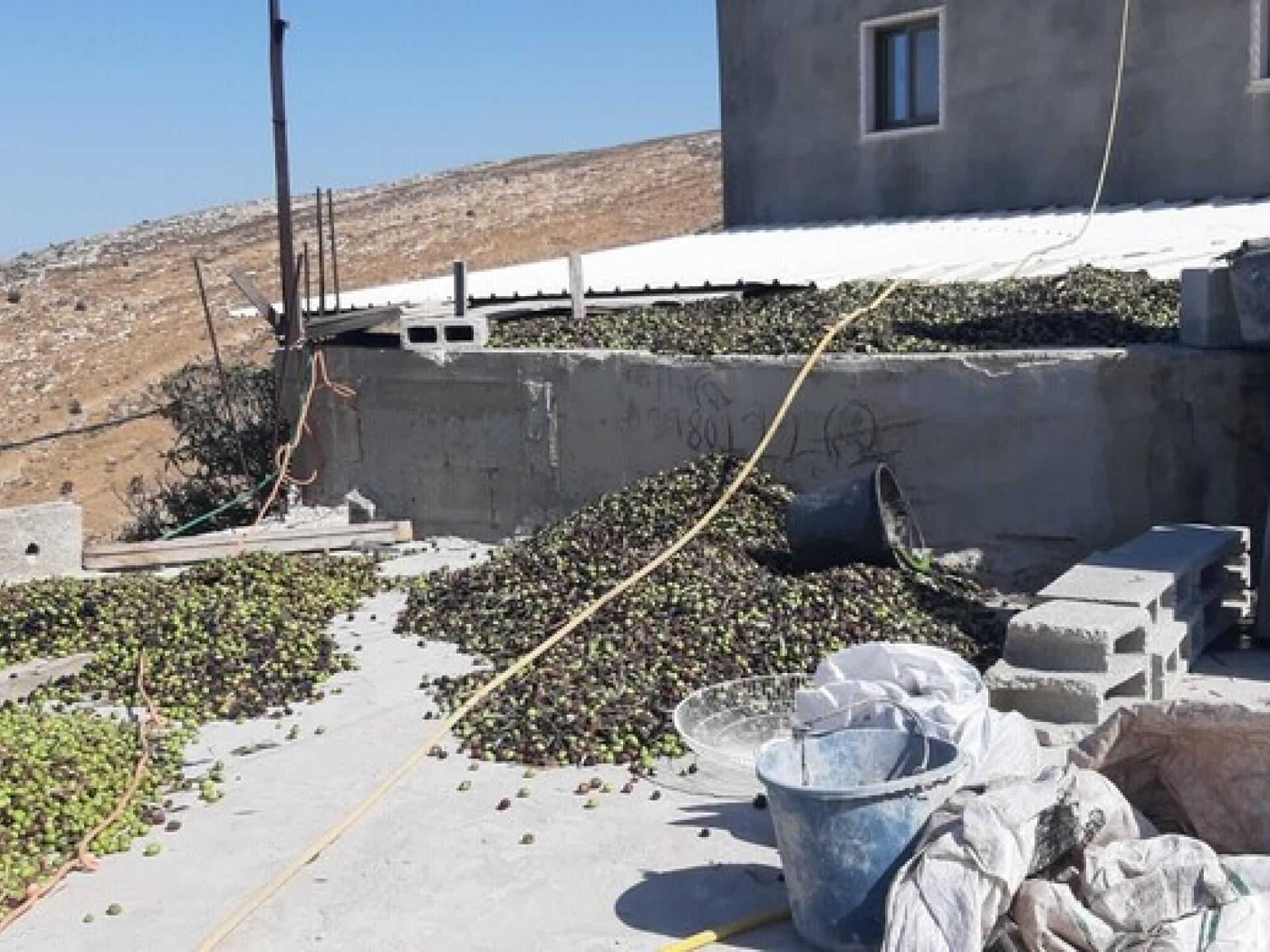 על גג משפחת ג'אדאללה מייבשים את הזיתים לפני שמביאים אותם לבית הבד