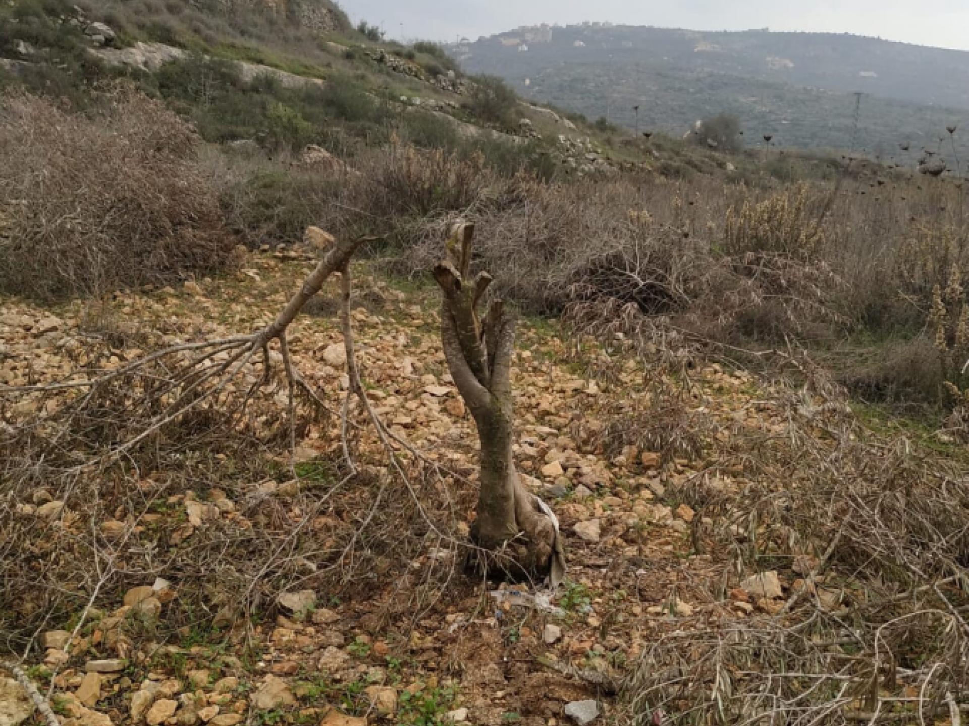 38 עצי זית נכרתו בלילה בכפר יאסוף, בחלקה שקרובה להתנחלות רחלים. בצילומים אפשר לראות באיזו נחישות וואכזריות נעשה מעשה הנבלה הזה