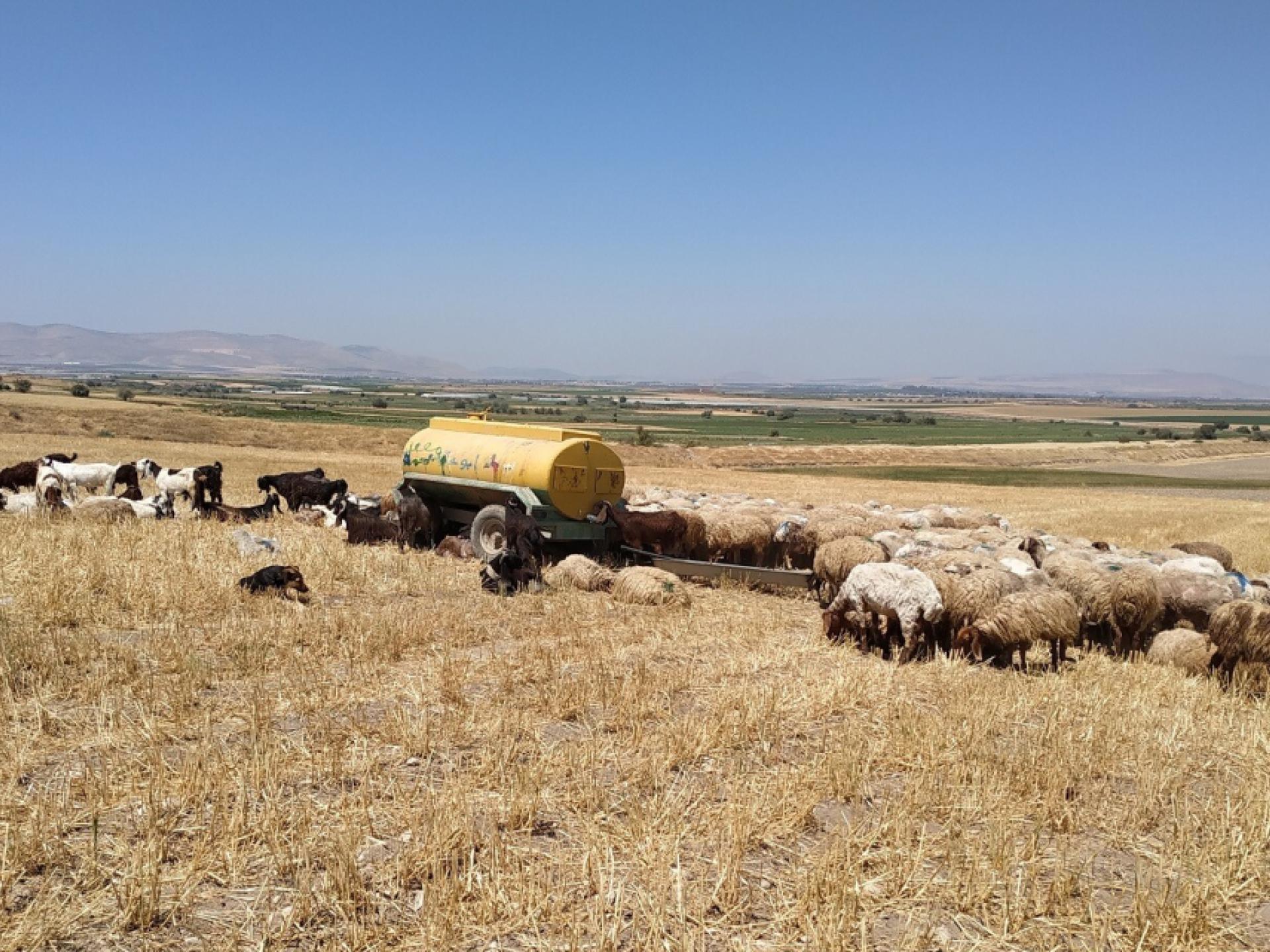 שדה שלף, כבשים, עוקב מים