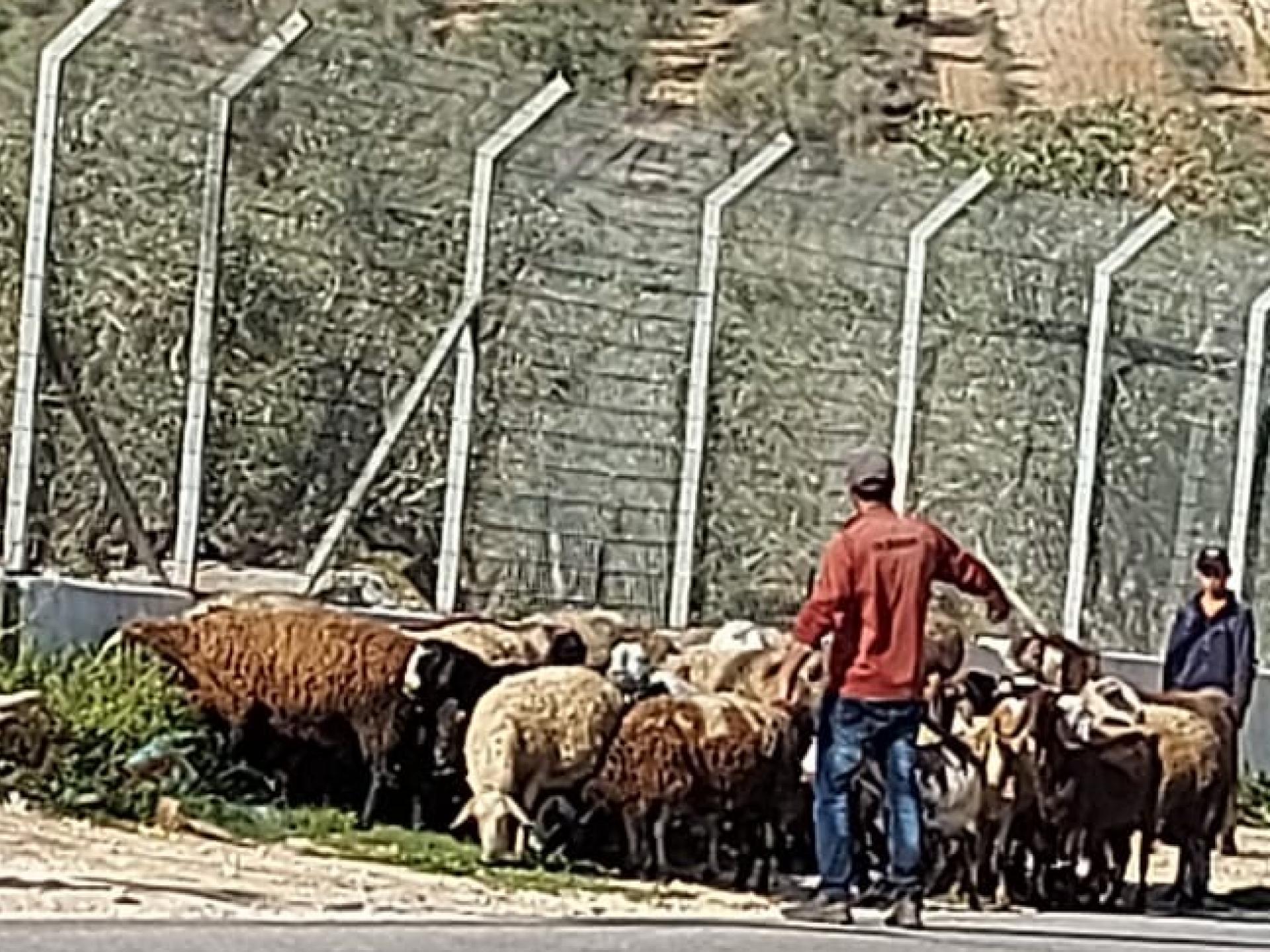 גבר ואישה עומדים ליד עדר רועים