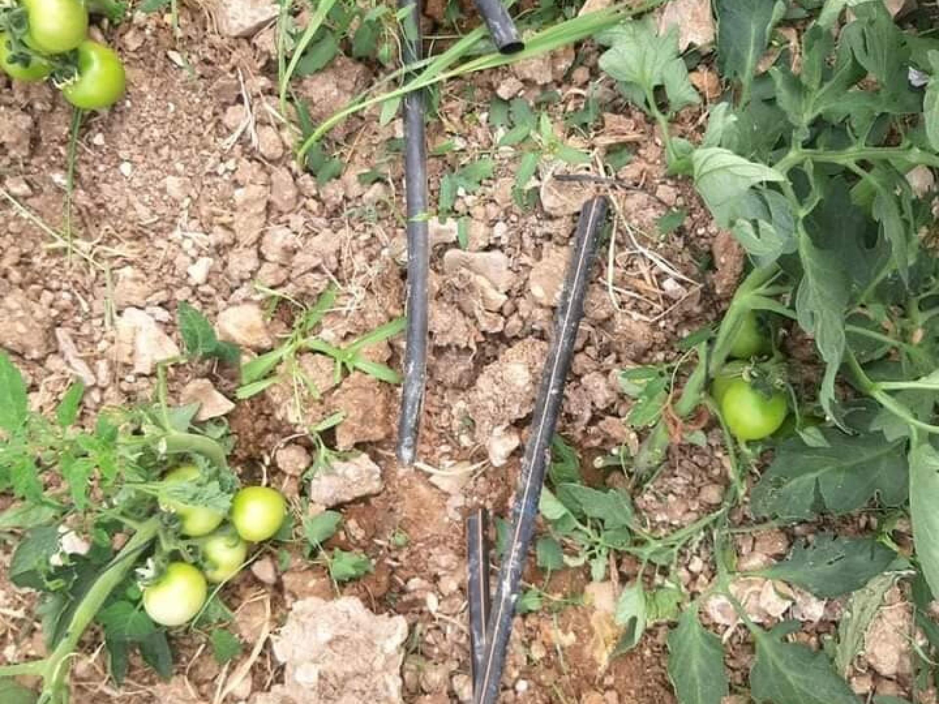 שתילי עגבניות הרוסים