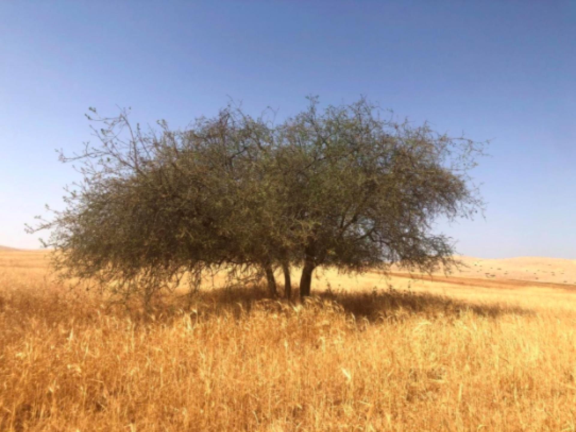 עץ צאלה בודד בתוך שדה חיטה עם שמים כחולים