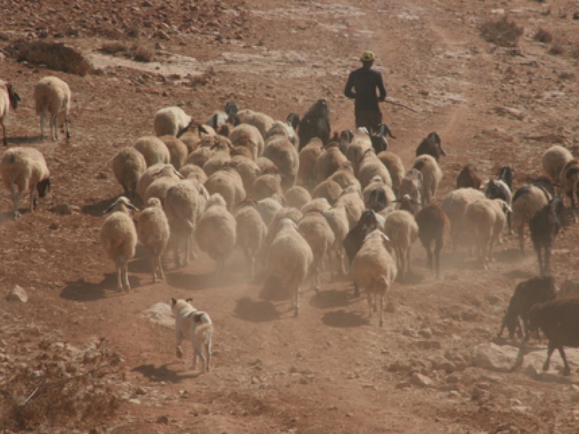 עדרים רועים בנחת