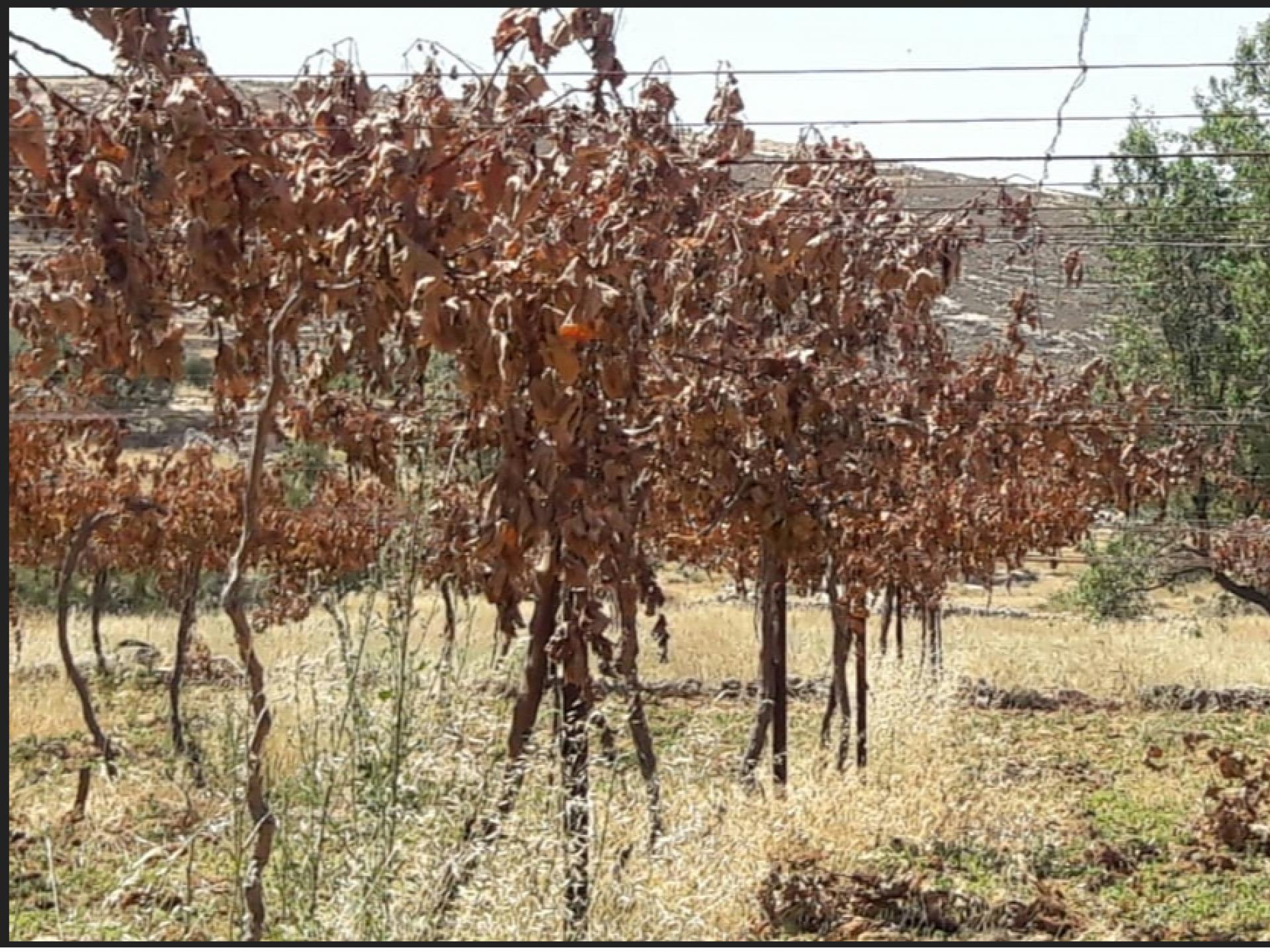כרם הענבים של אבו נעים ימים אחרי שגדעו את כל גזעי הגפנים