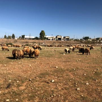 Jordan Valley: sheep enjoying the first sprouts after the first rain
