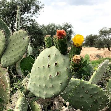 The prickly pear blossom in Ni'lin