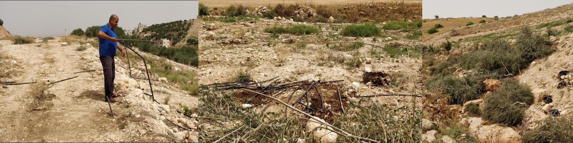 לשם מה גודמים זיתים וחותכים צינורות השקיה? ברדלה בקעת הירדן